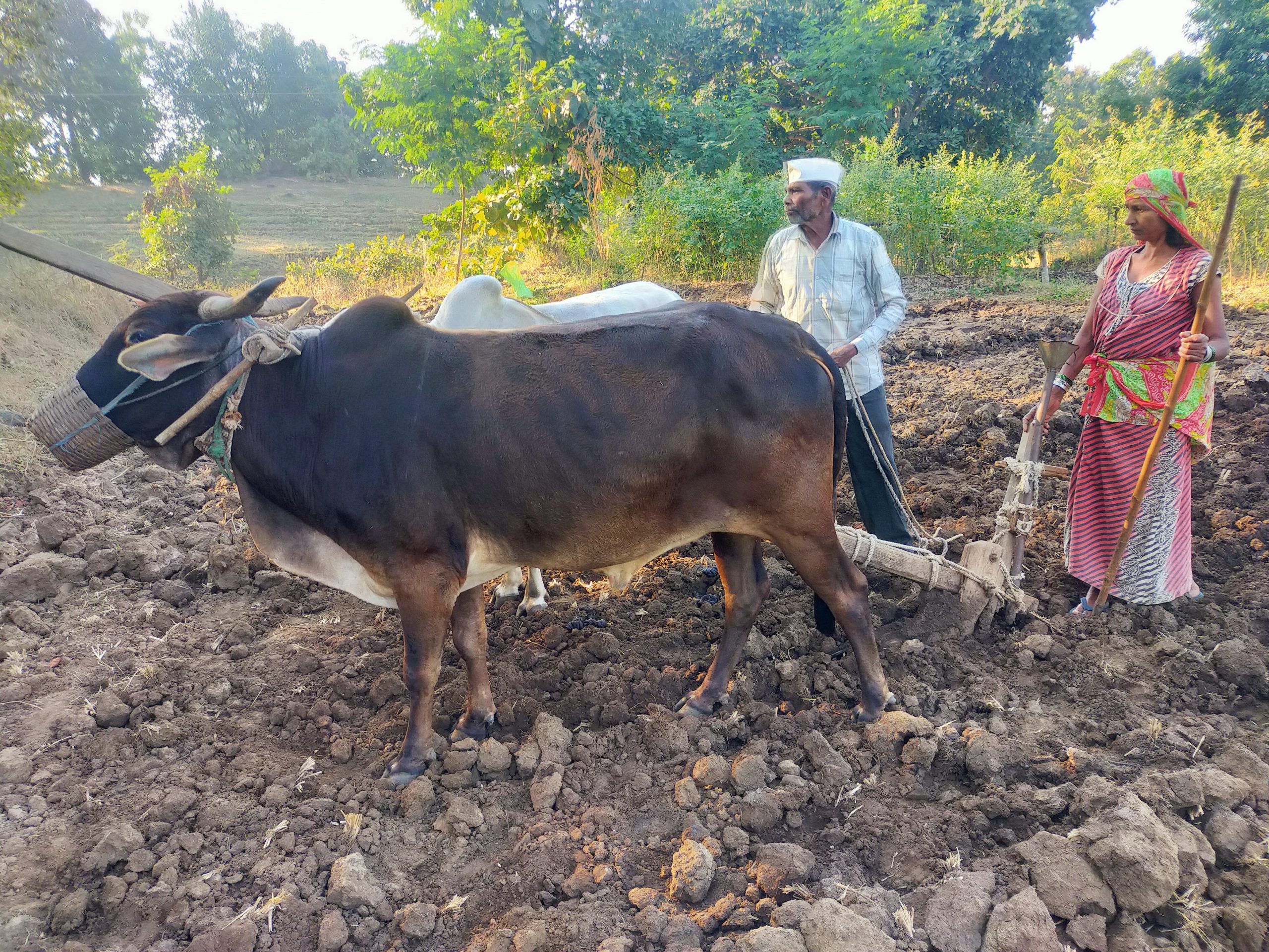 Farmers plough with oxen