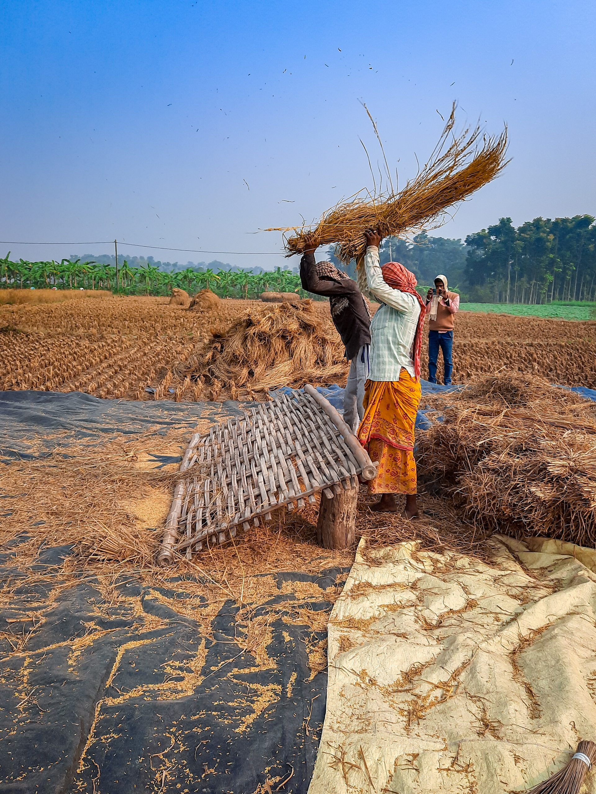Farmers threshing the crops with hand