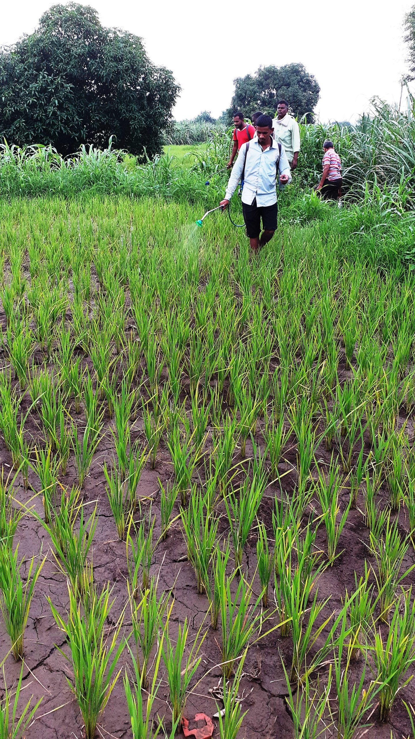 A man spraying pesticides in a paddy field