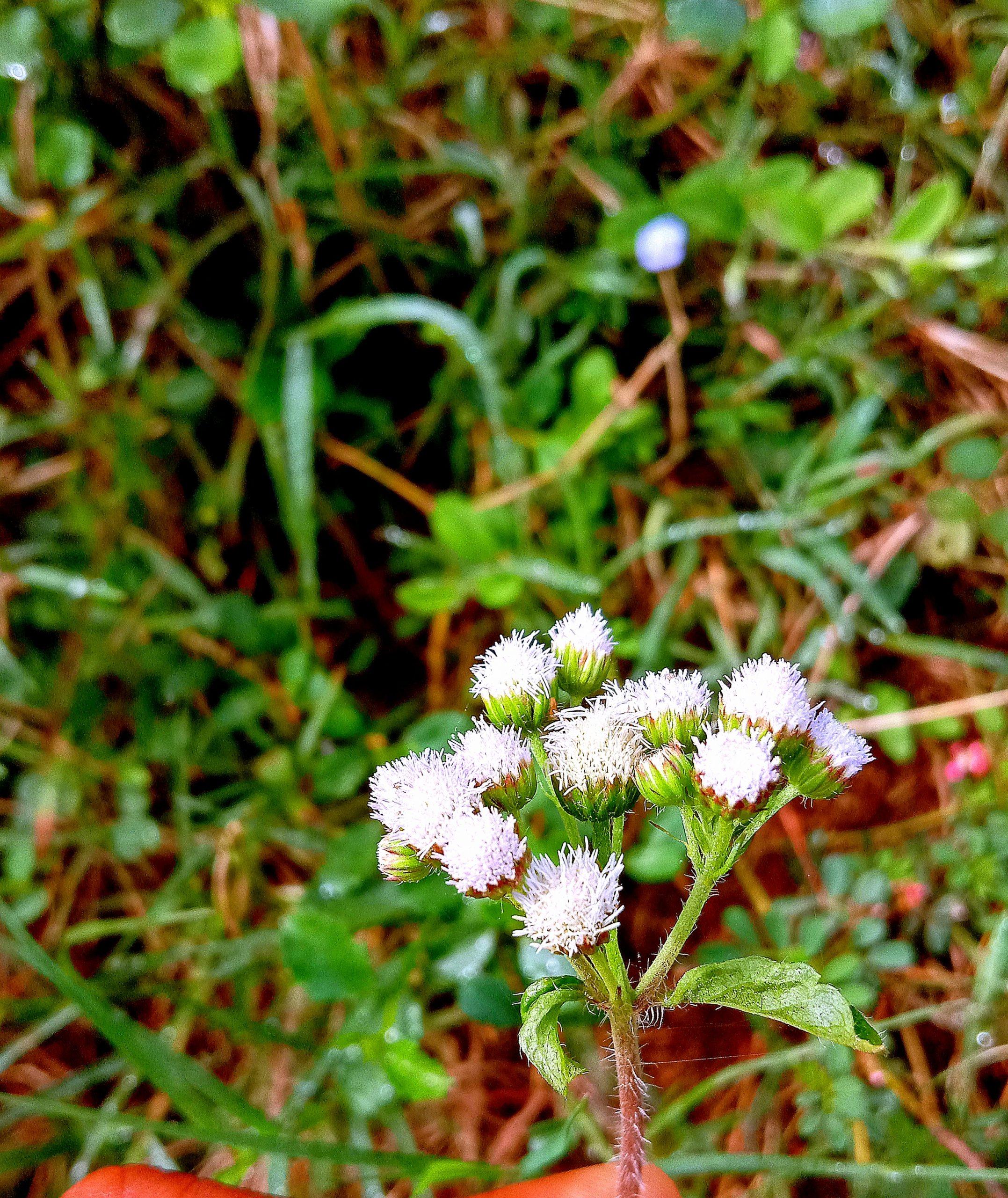Tiny White Lavender Flowers