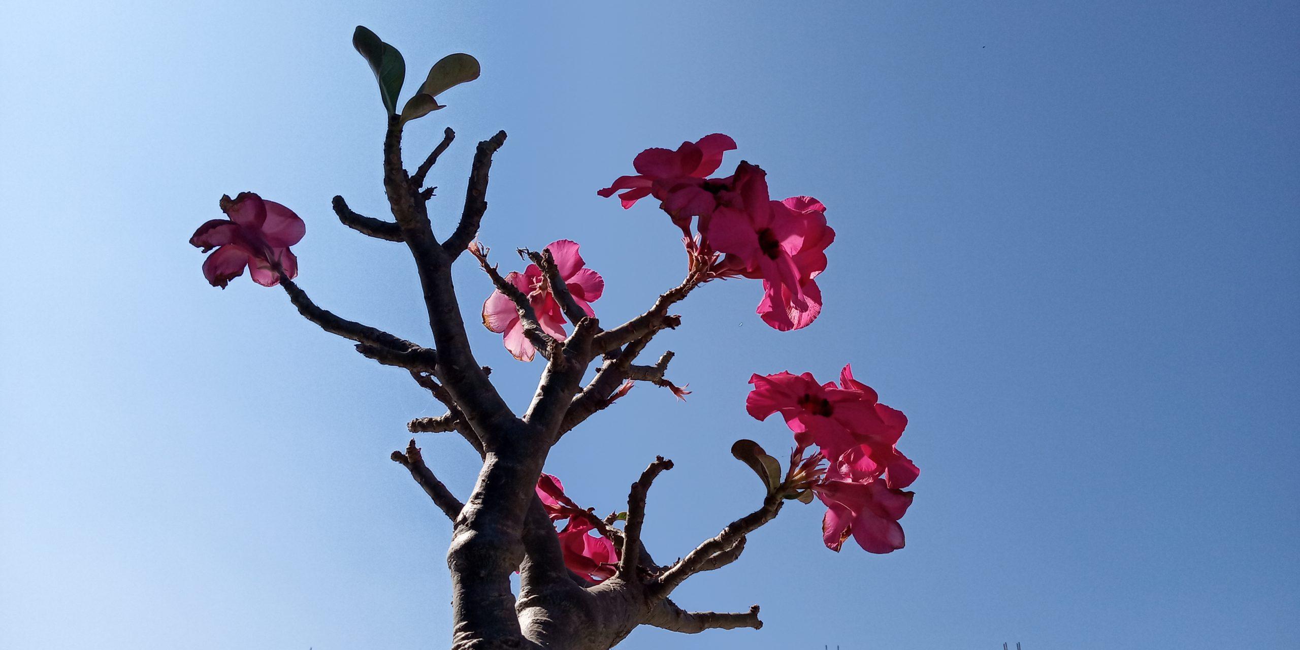 Adenium pink flower plant