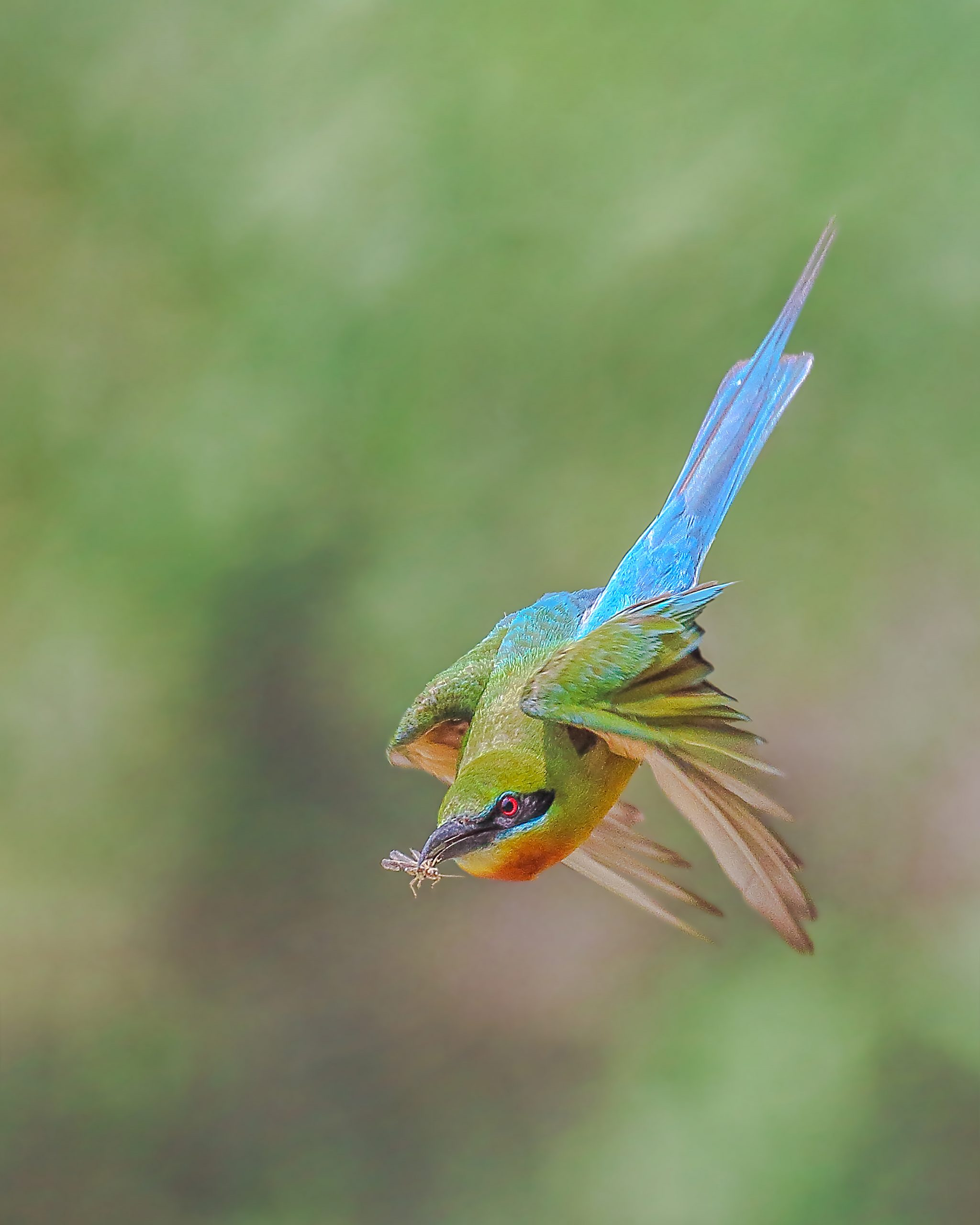 Flying Blue-tailed bee-eater