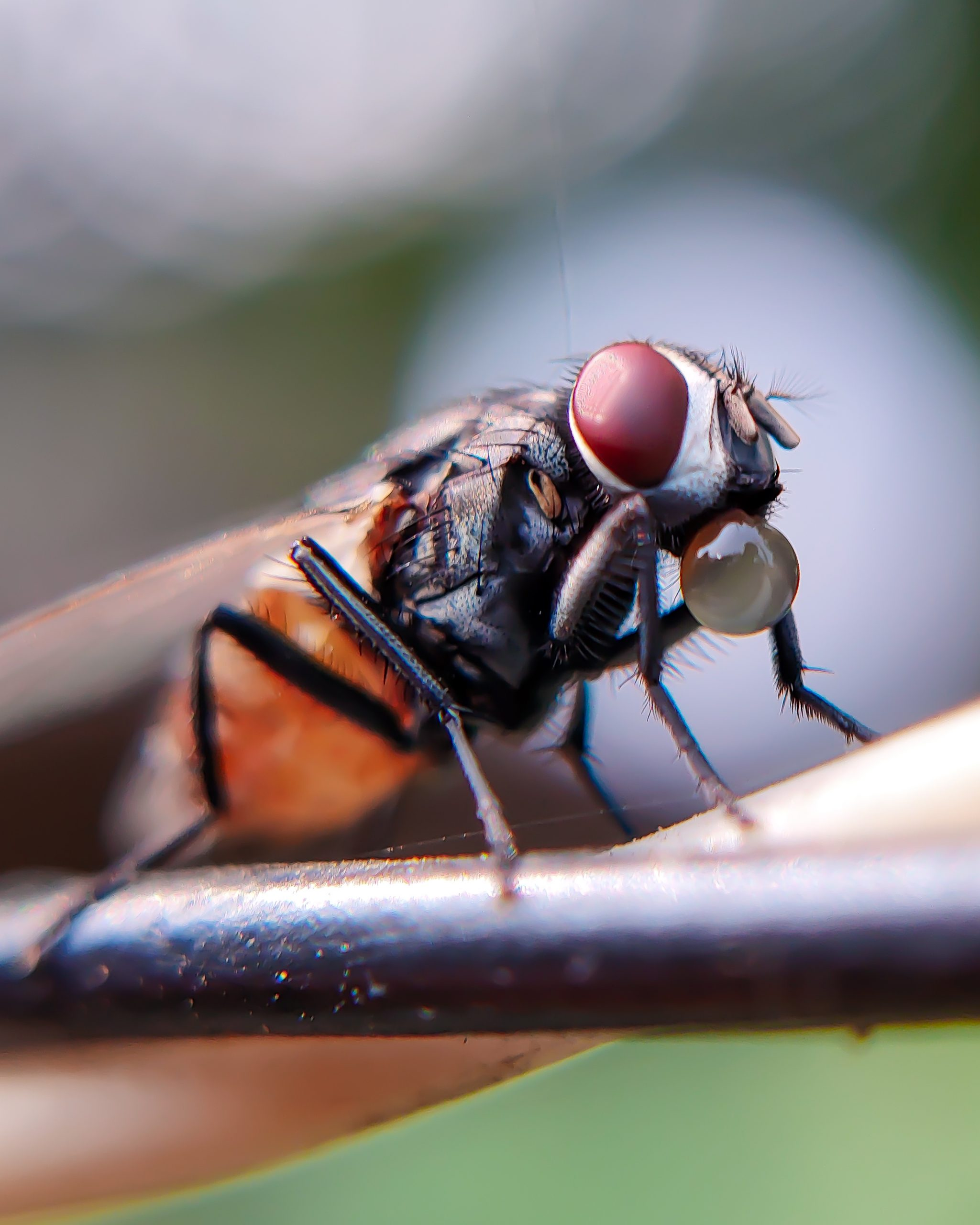 Close up shot of Housefly