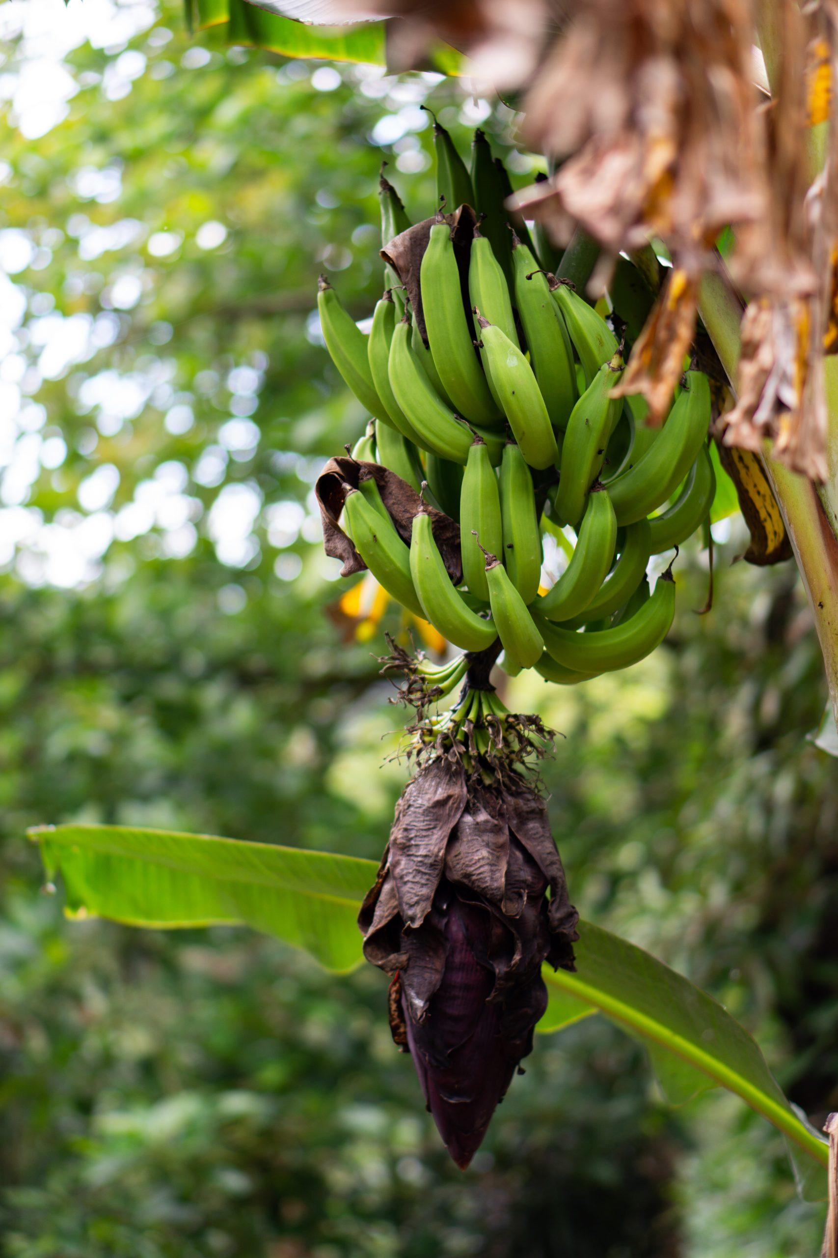 Fresh bunch of bananas