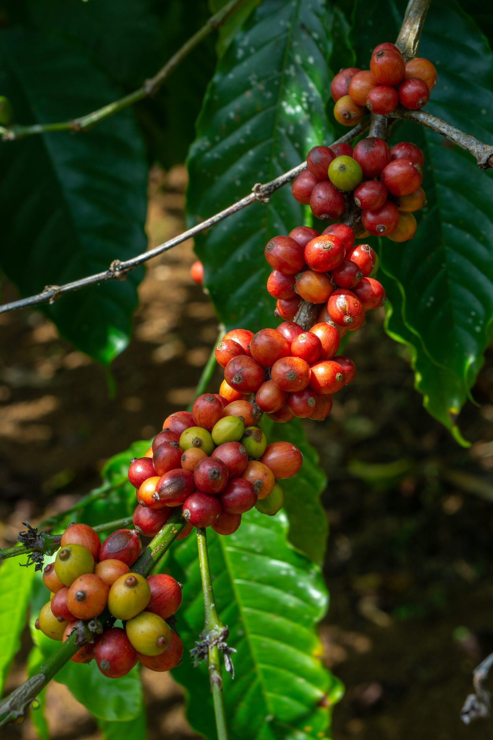 Fresh raw Coffee beans plant