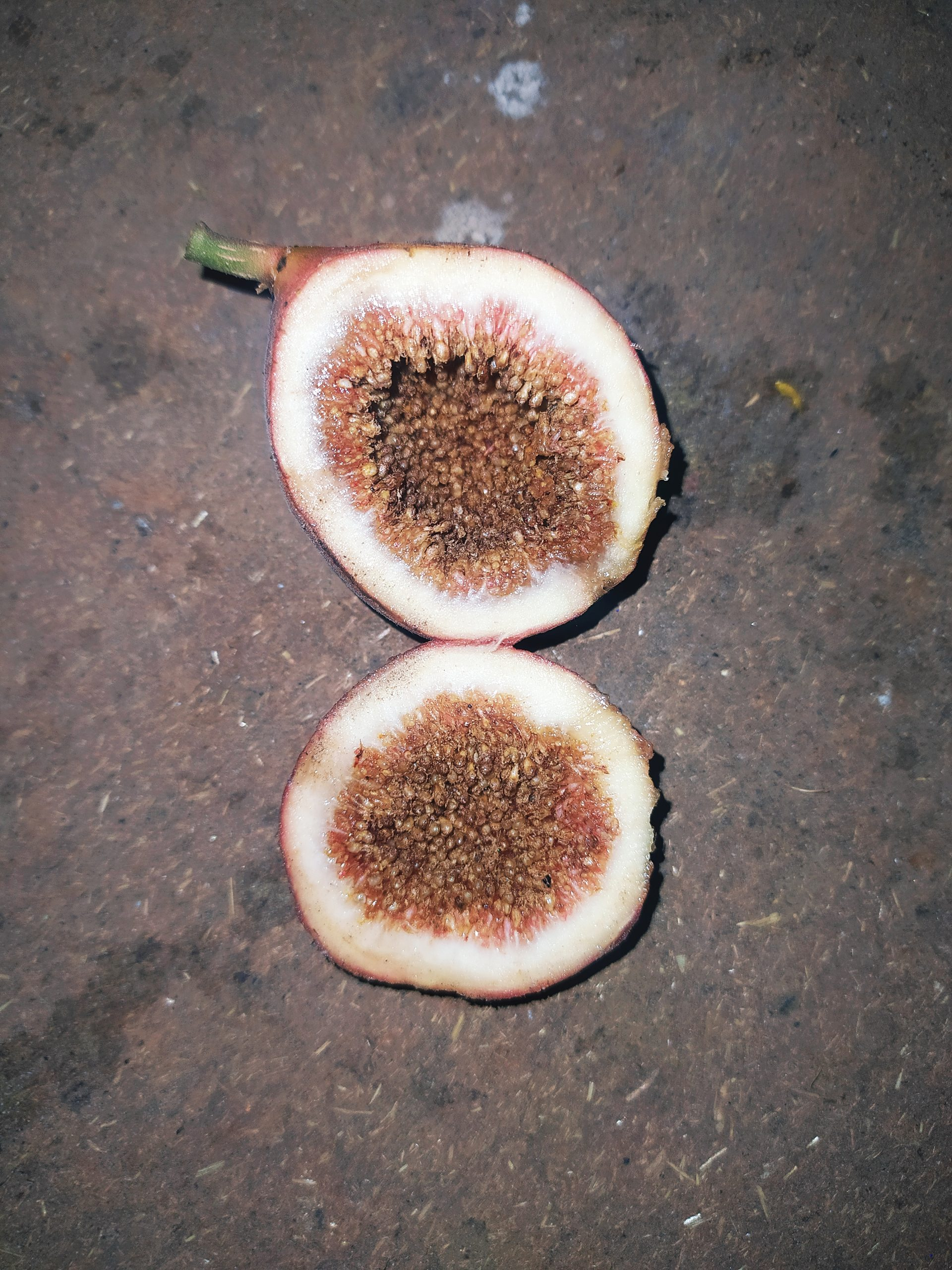 Fruit of fig tree