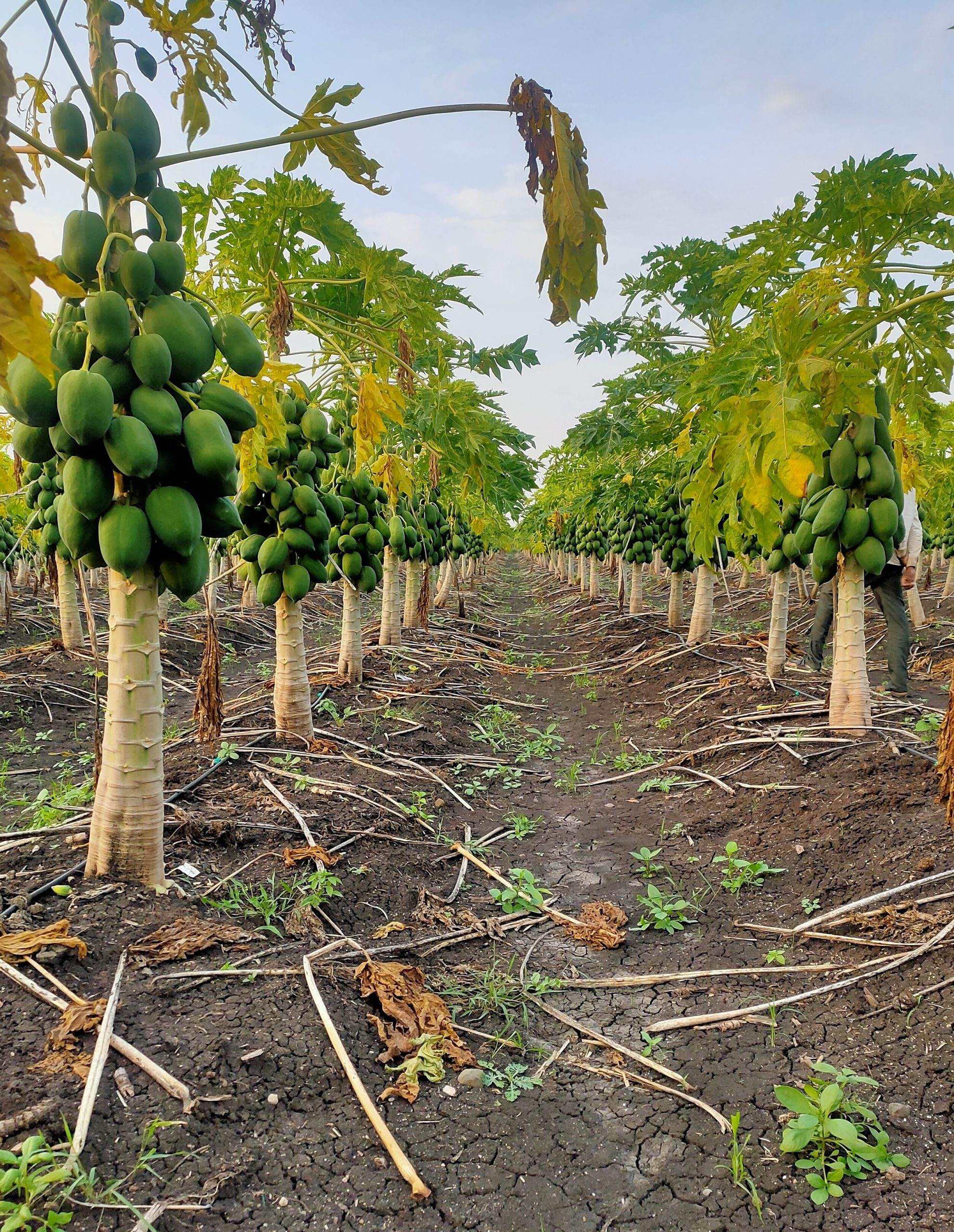 Papaya fruit plants