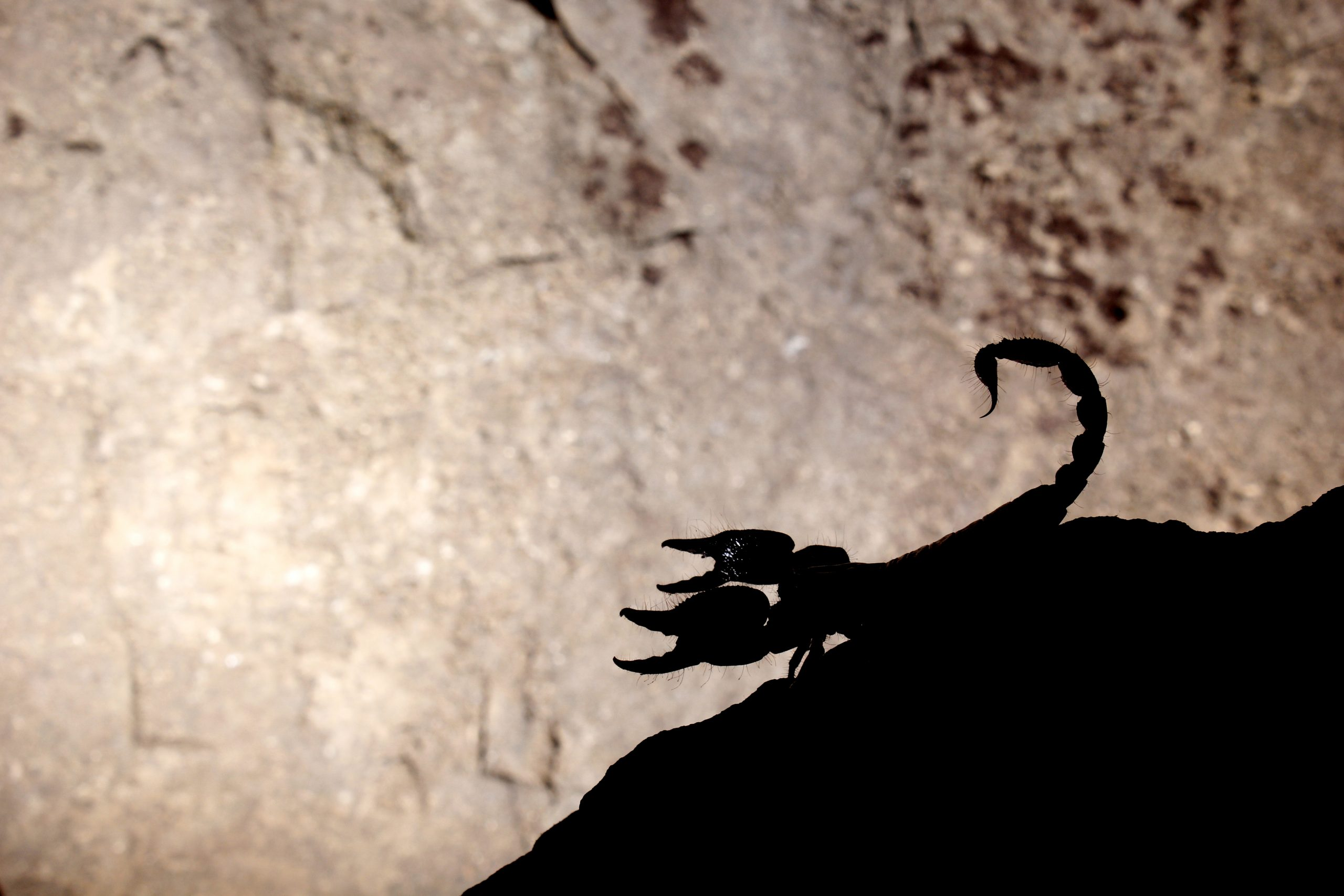 Scorpion sitting on rock