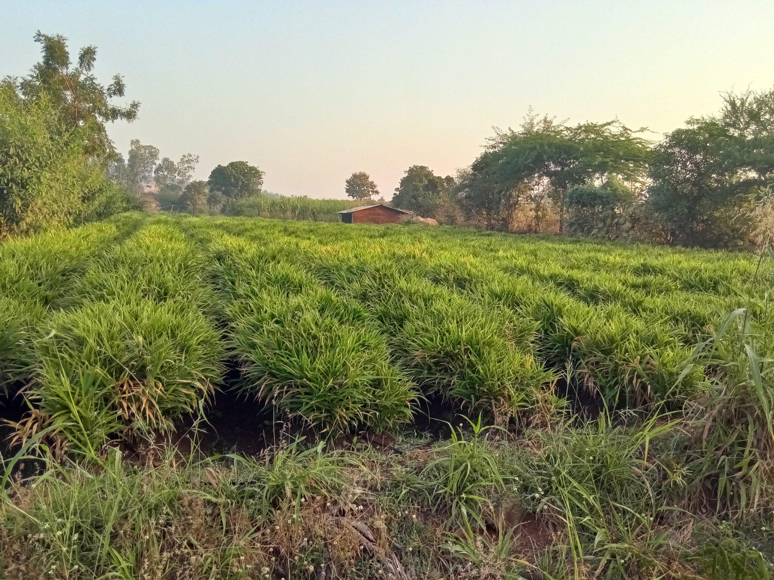 ginger plantation in farm
