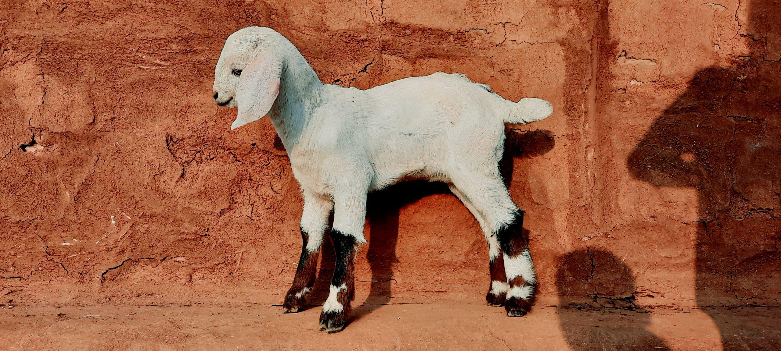 Kid of a goata