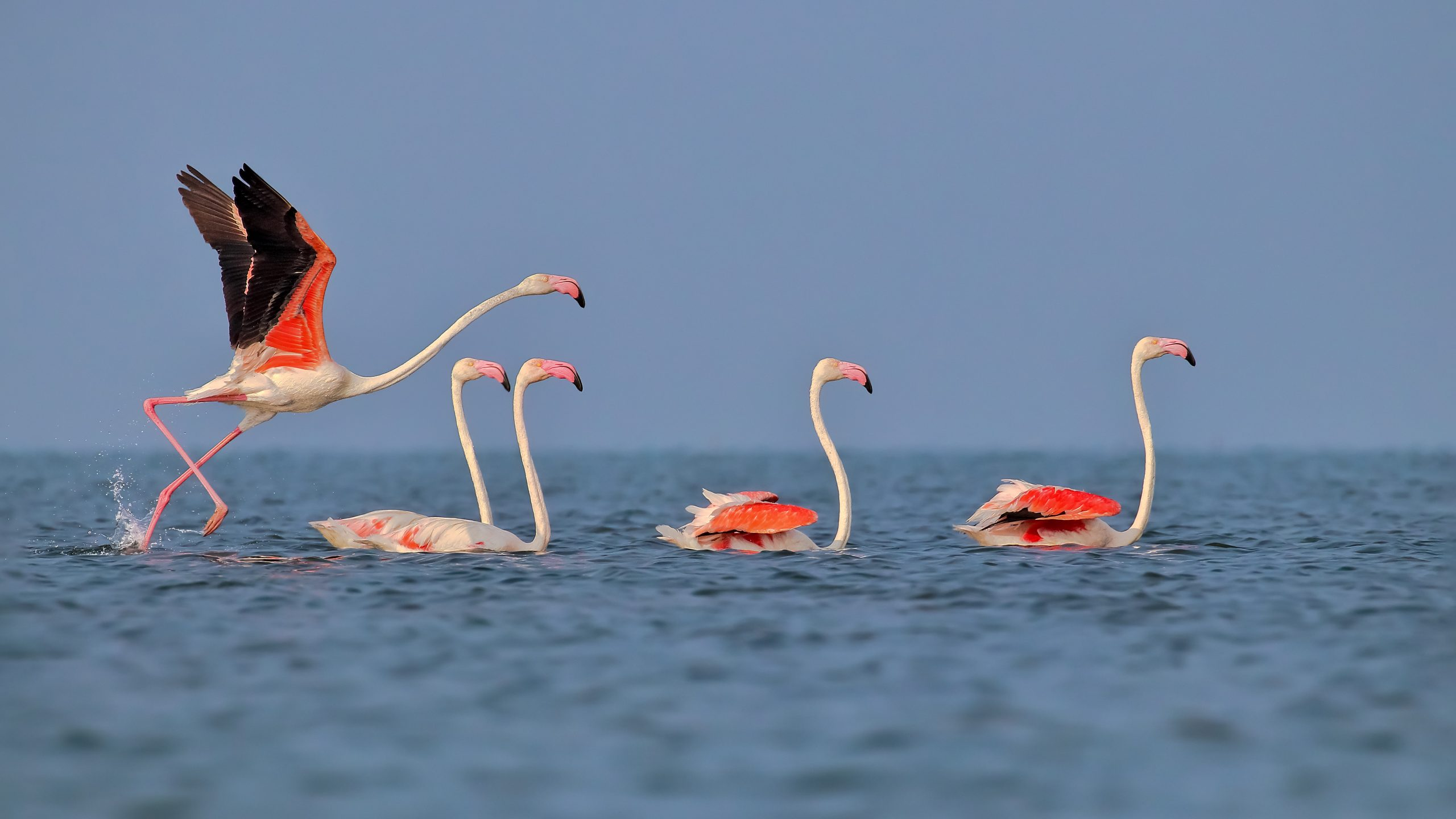 Greater Flamingo birds in Chilika Lake, Odisha