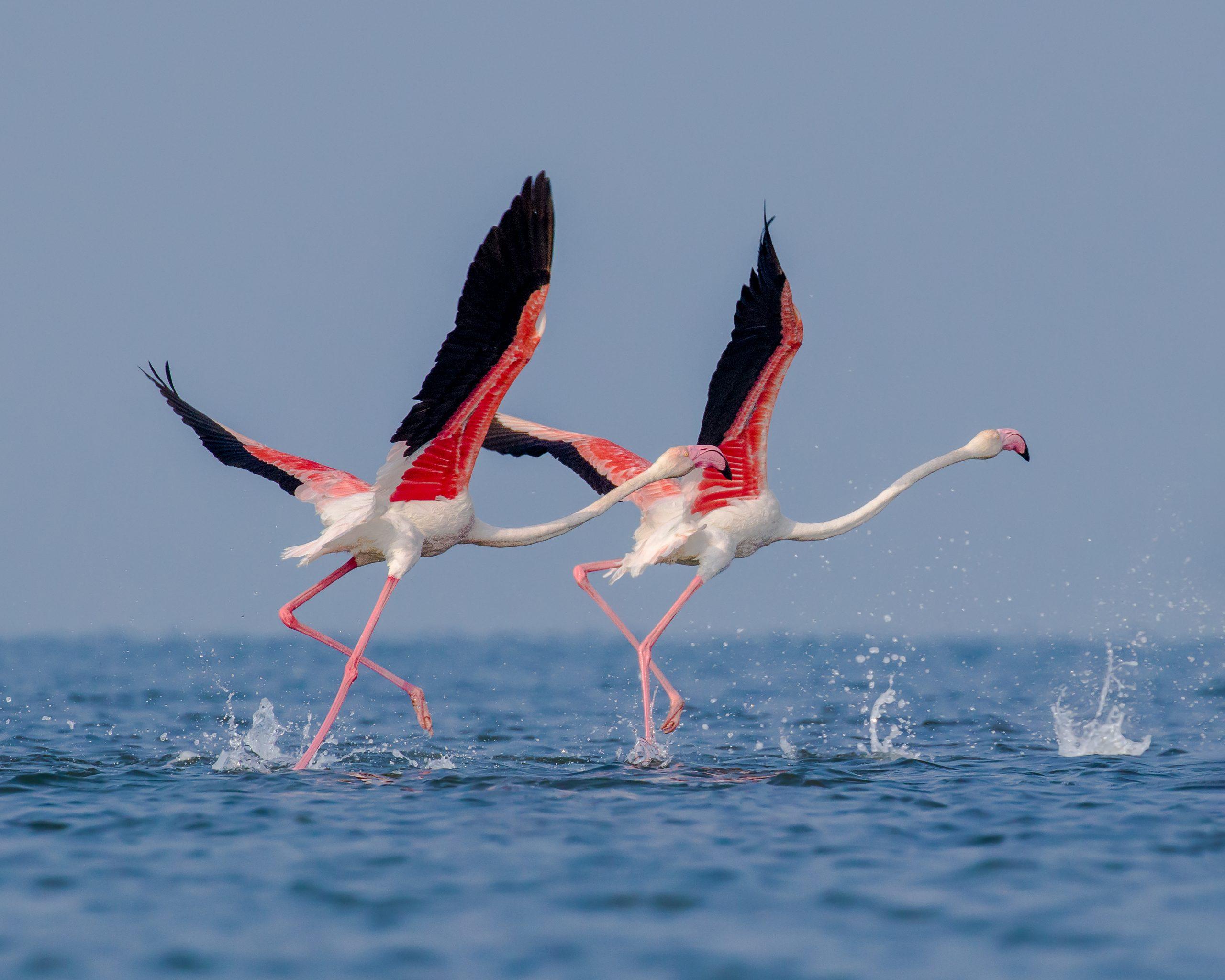 Greater Flamingo birds in Chilika Lake