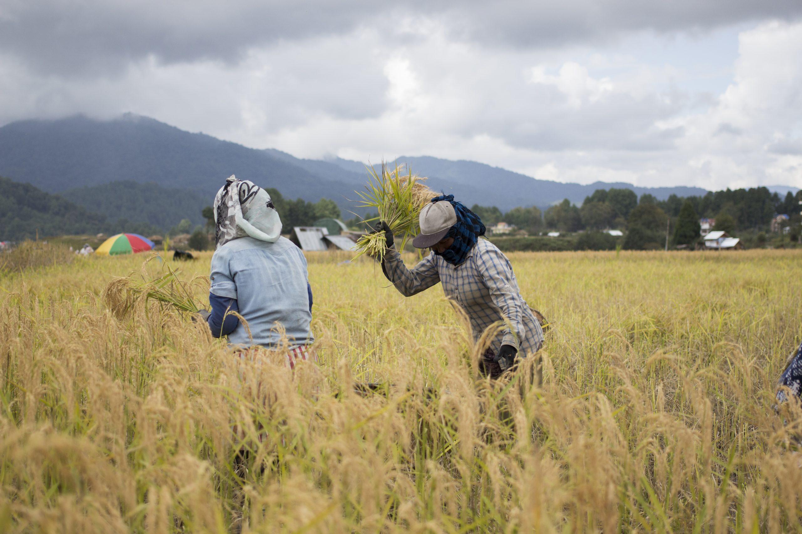 worker harvesting rice crop