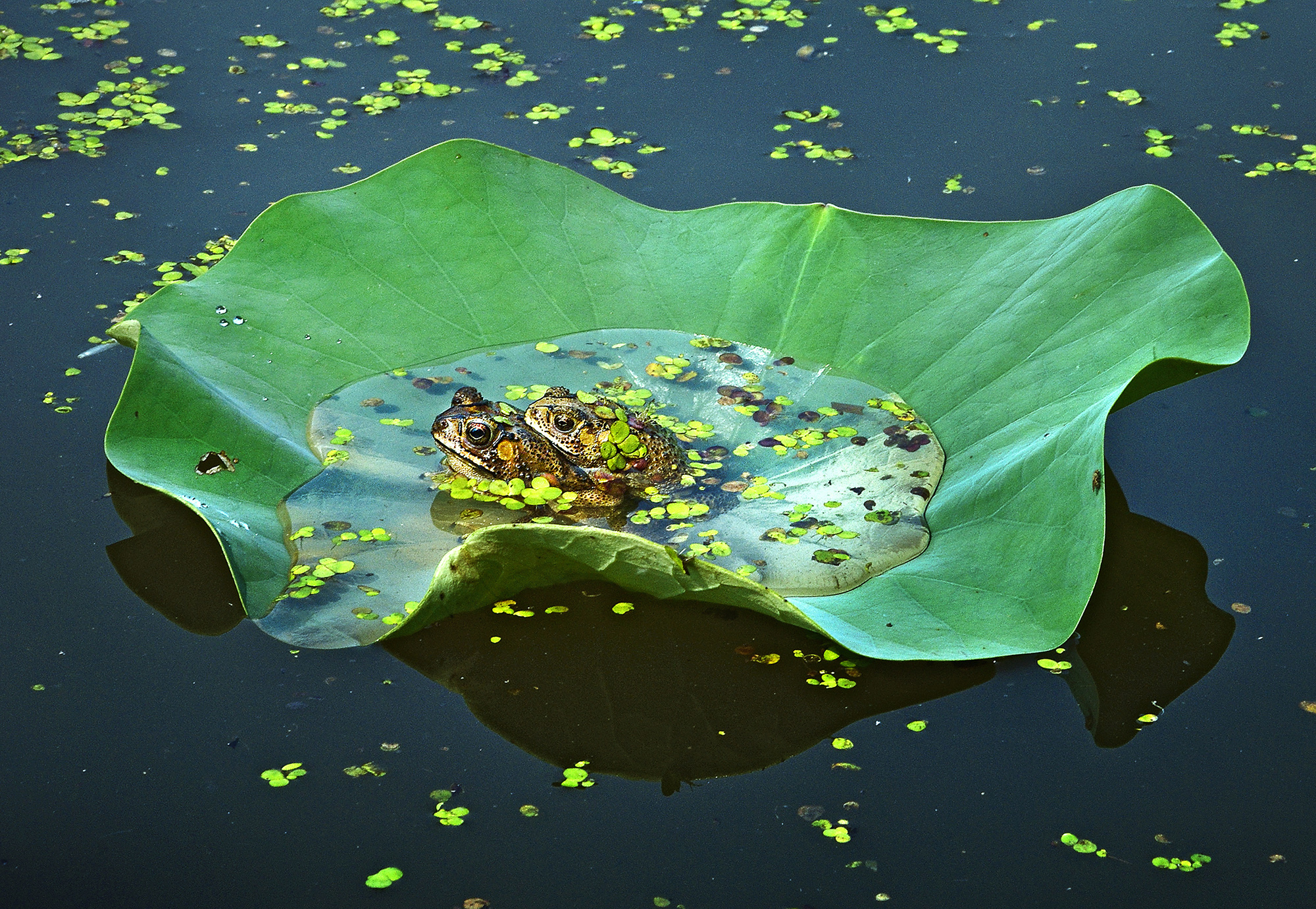 Frogs in water mating on a leaf