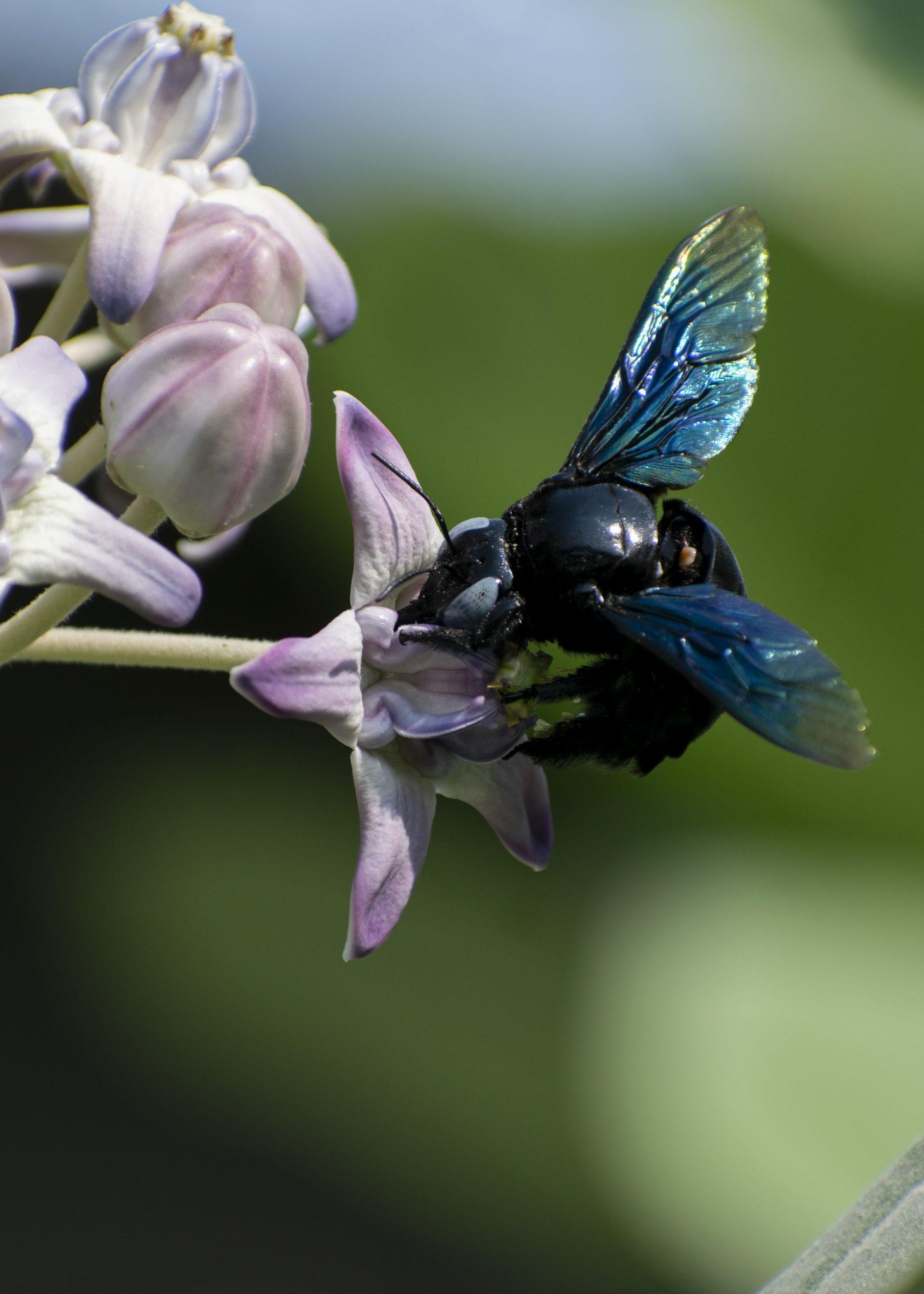Hornet Collecting Honey