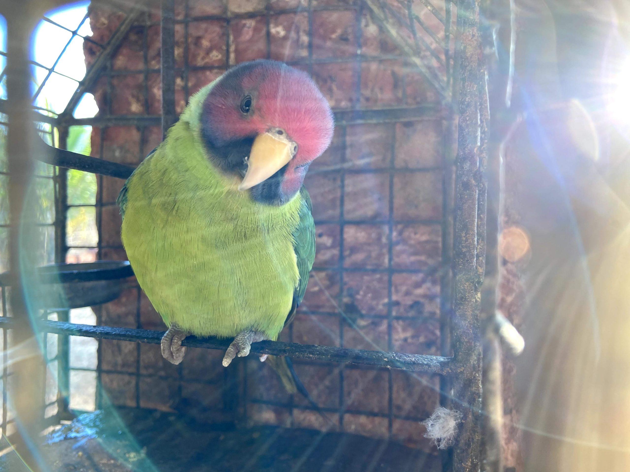 Indian Plum headed Parakeet