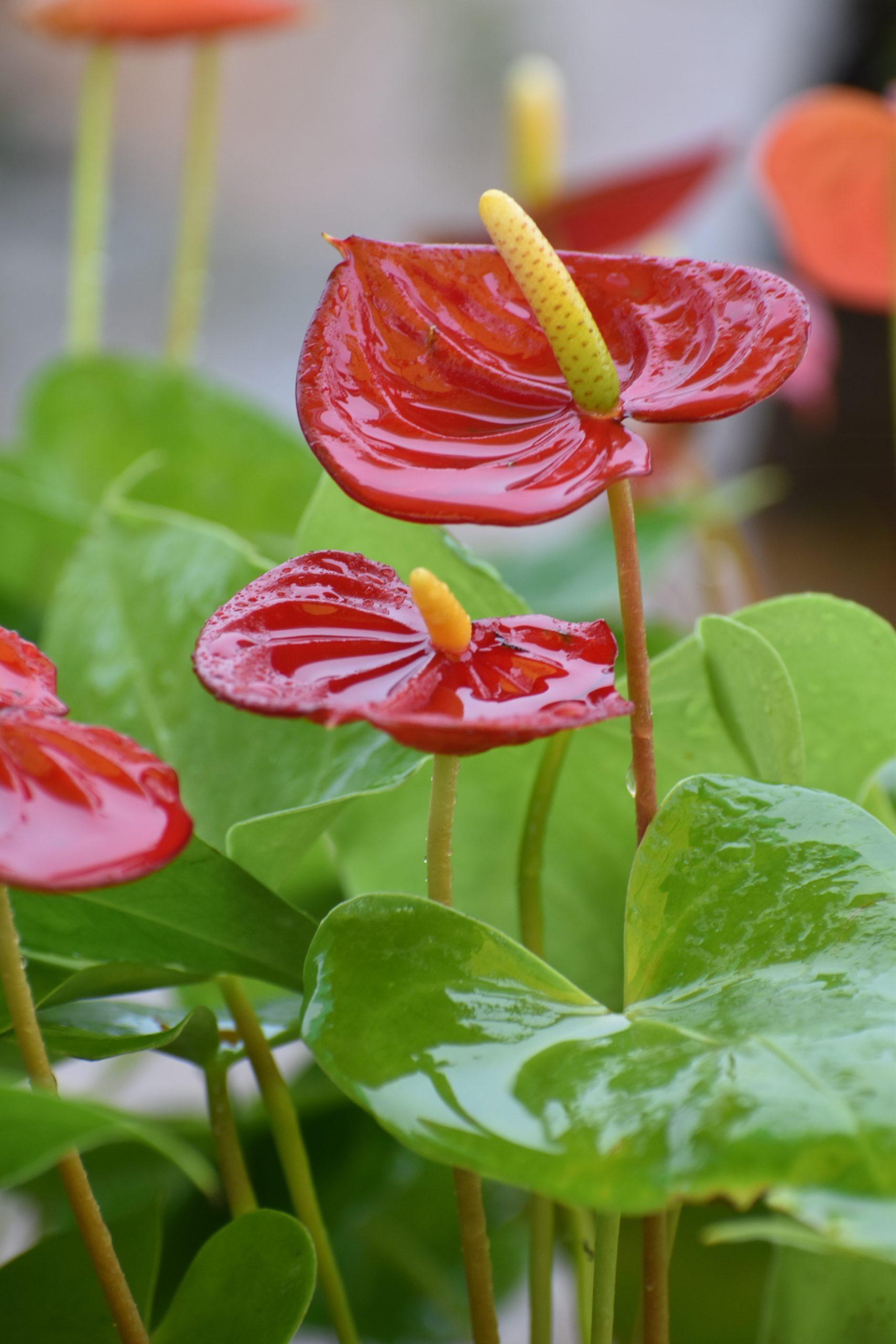 laceleaf plants