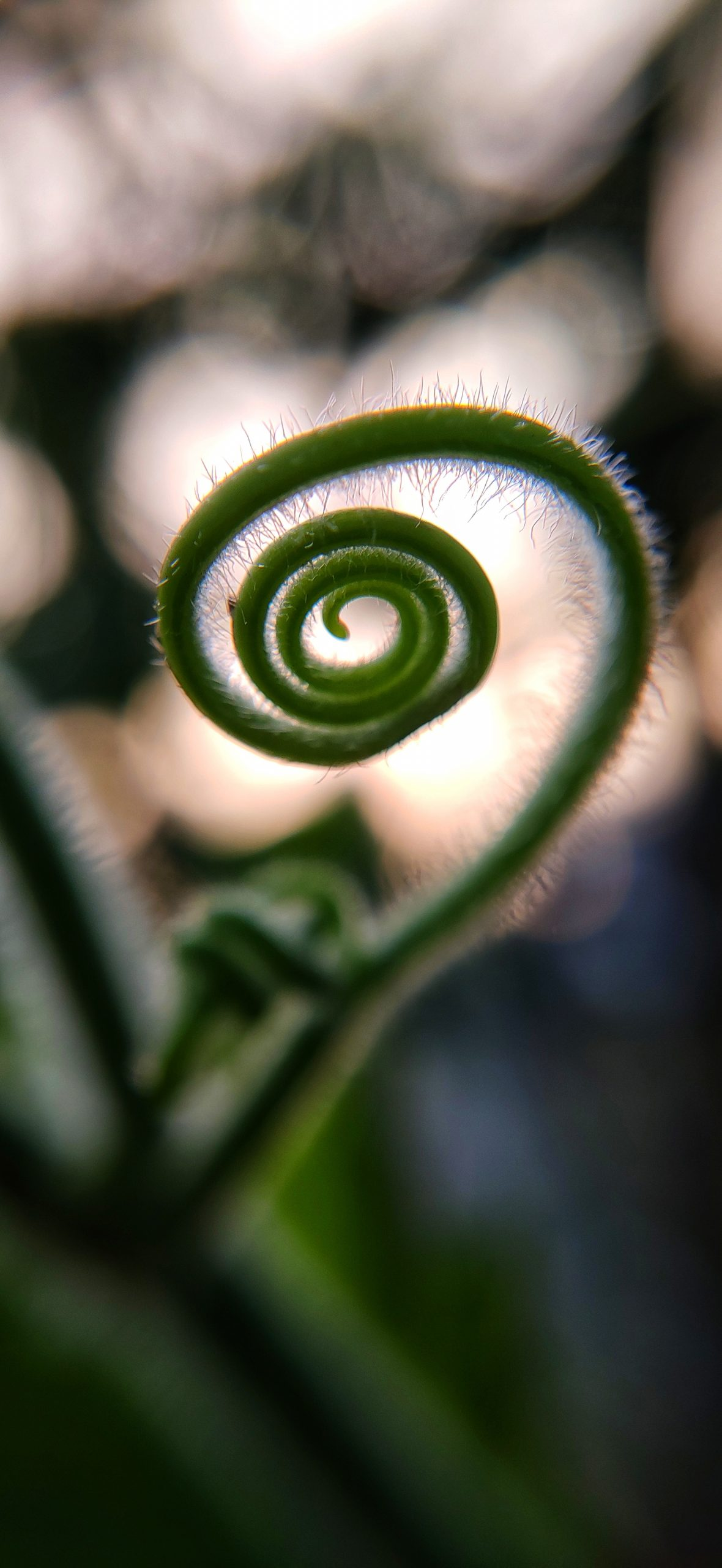 Coil of a vine plant
