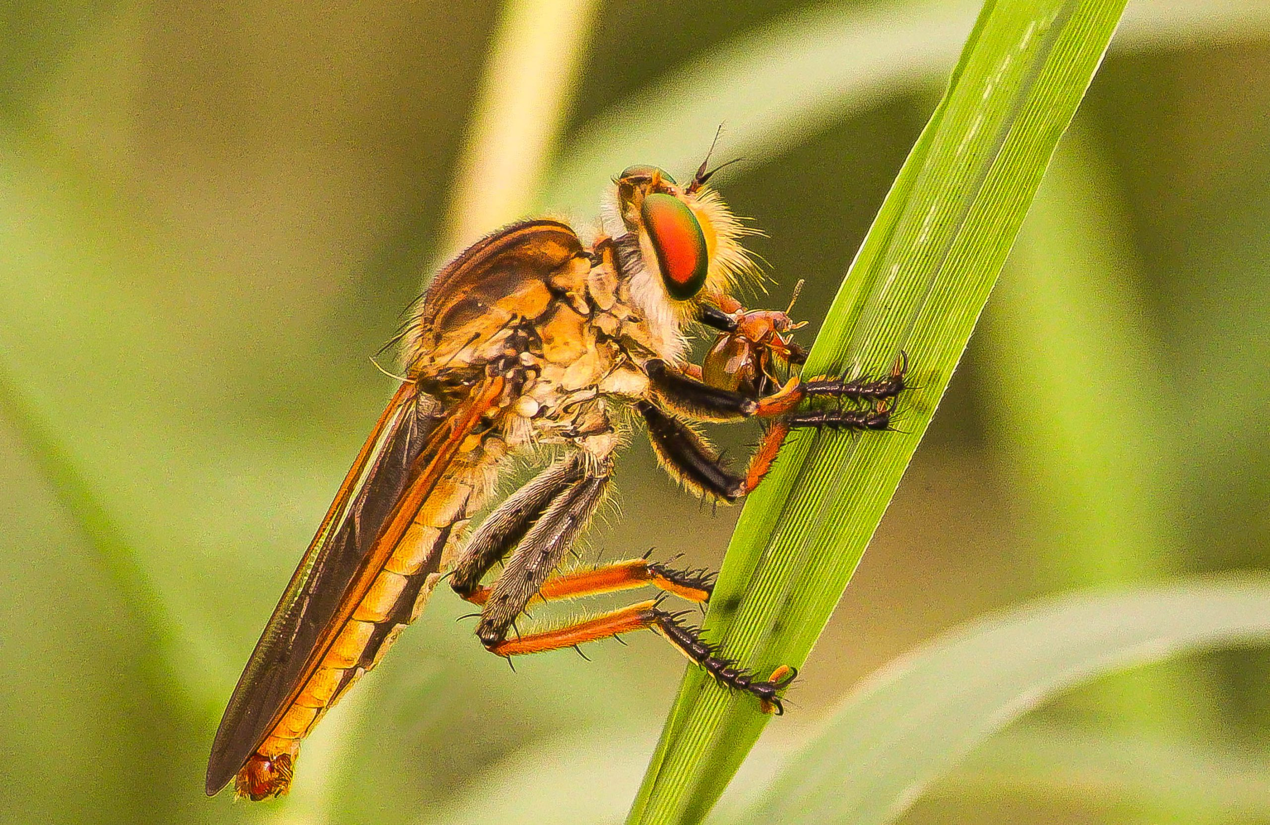 A robberfly on a leaf