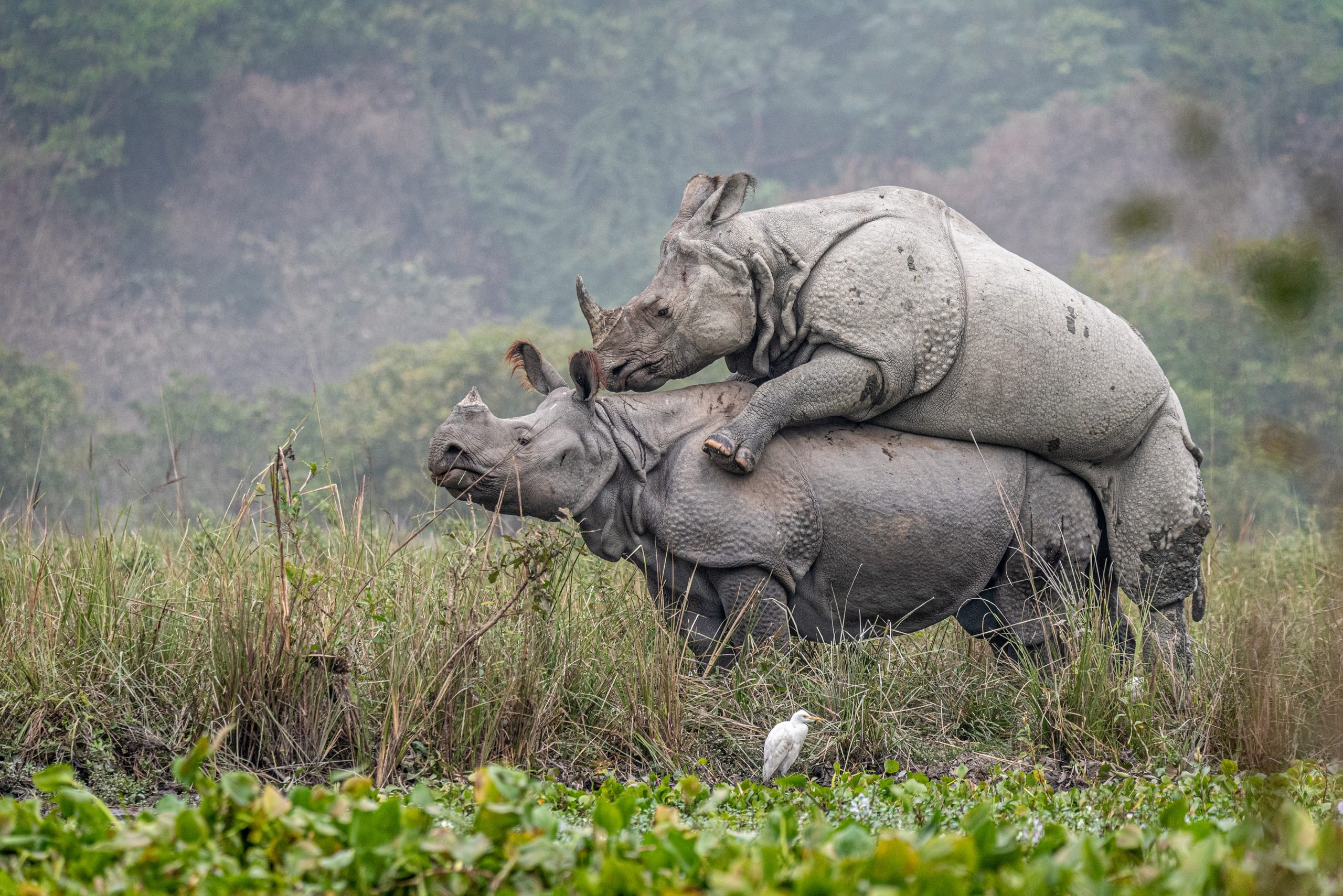 Mating rhinoceros pair at Pobitora Wildlife sanctuary