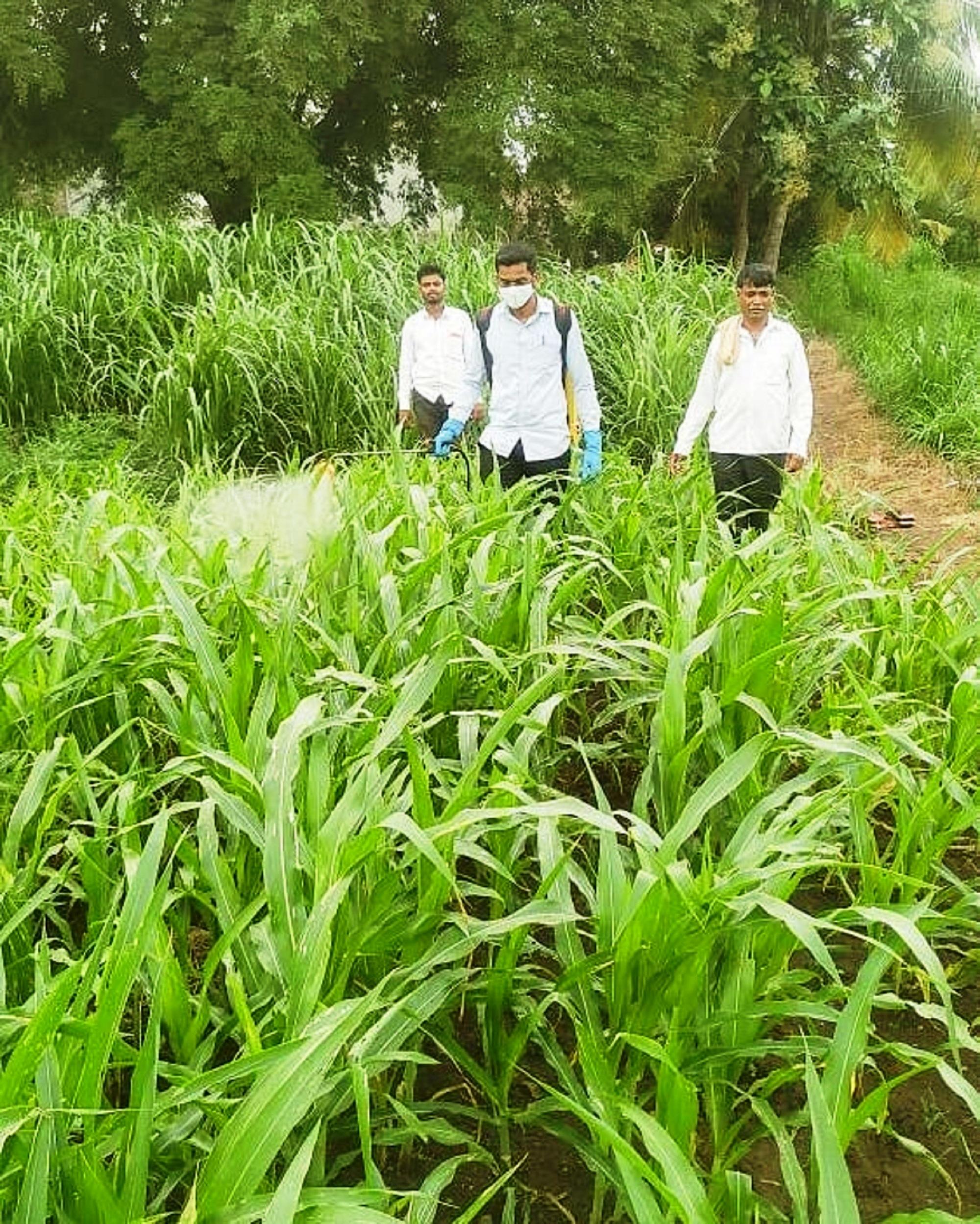 Men spraying pesticides in plants
