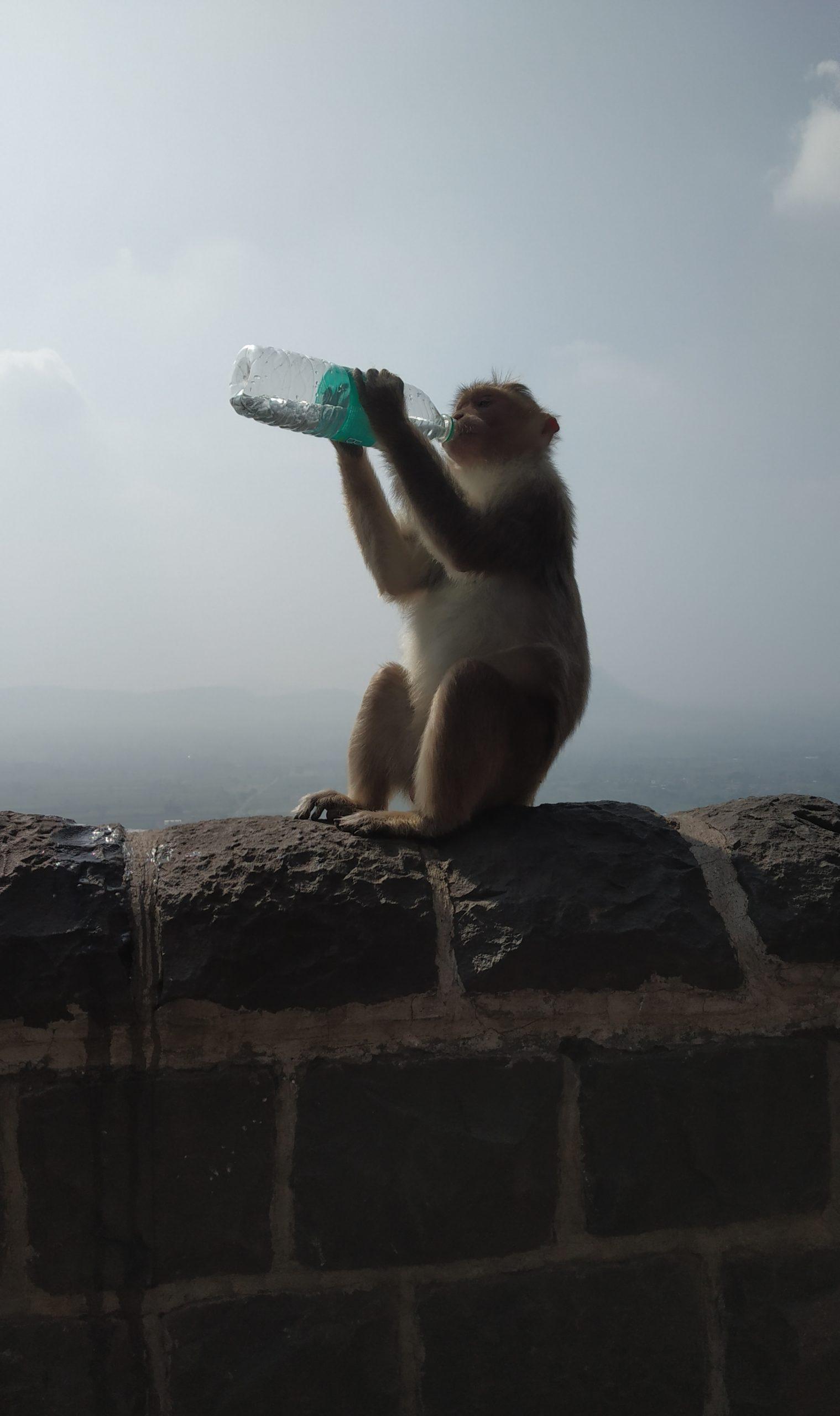 A monkey drinking water