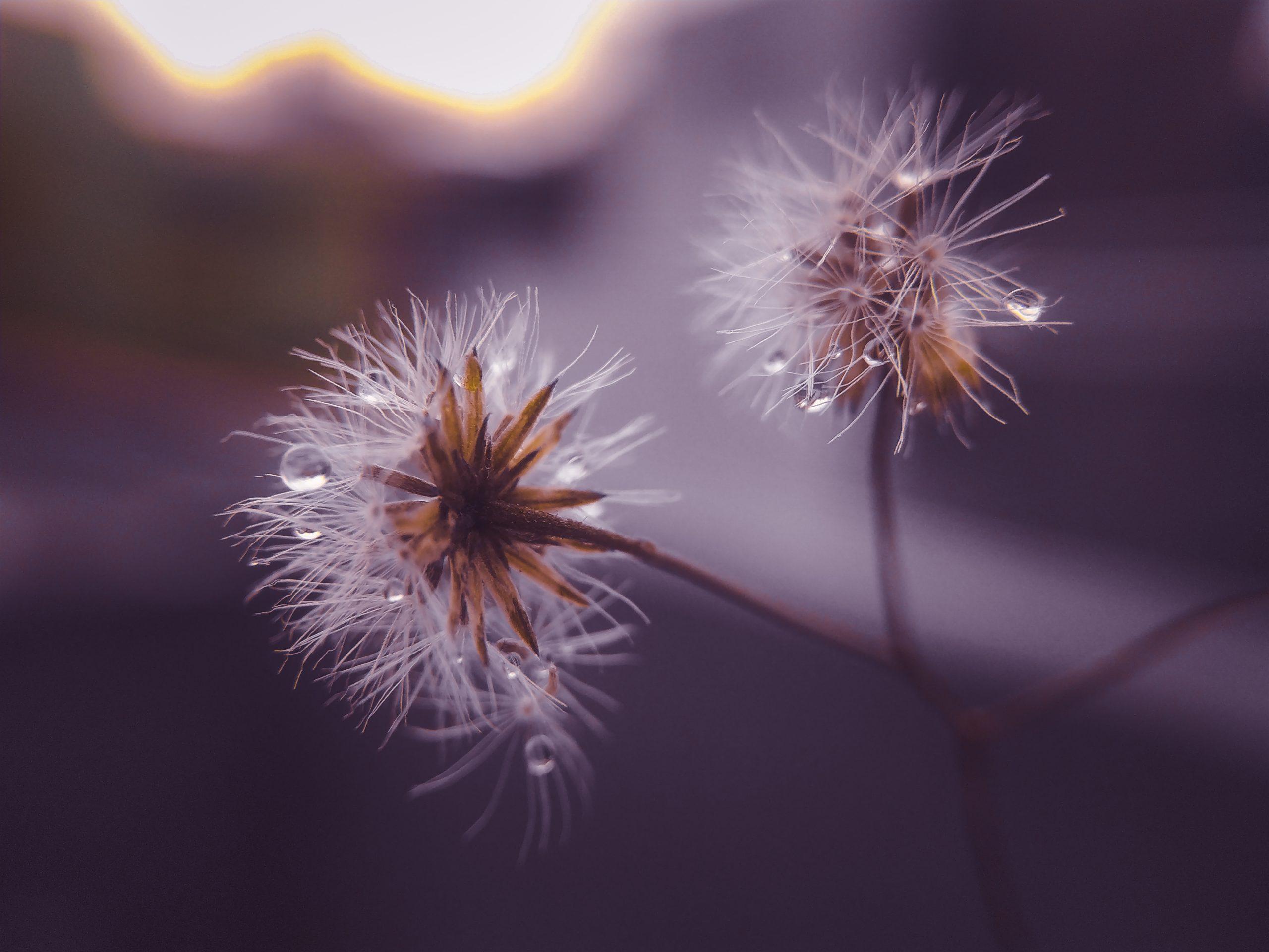 Moisture on white flowers