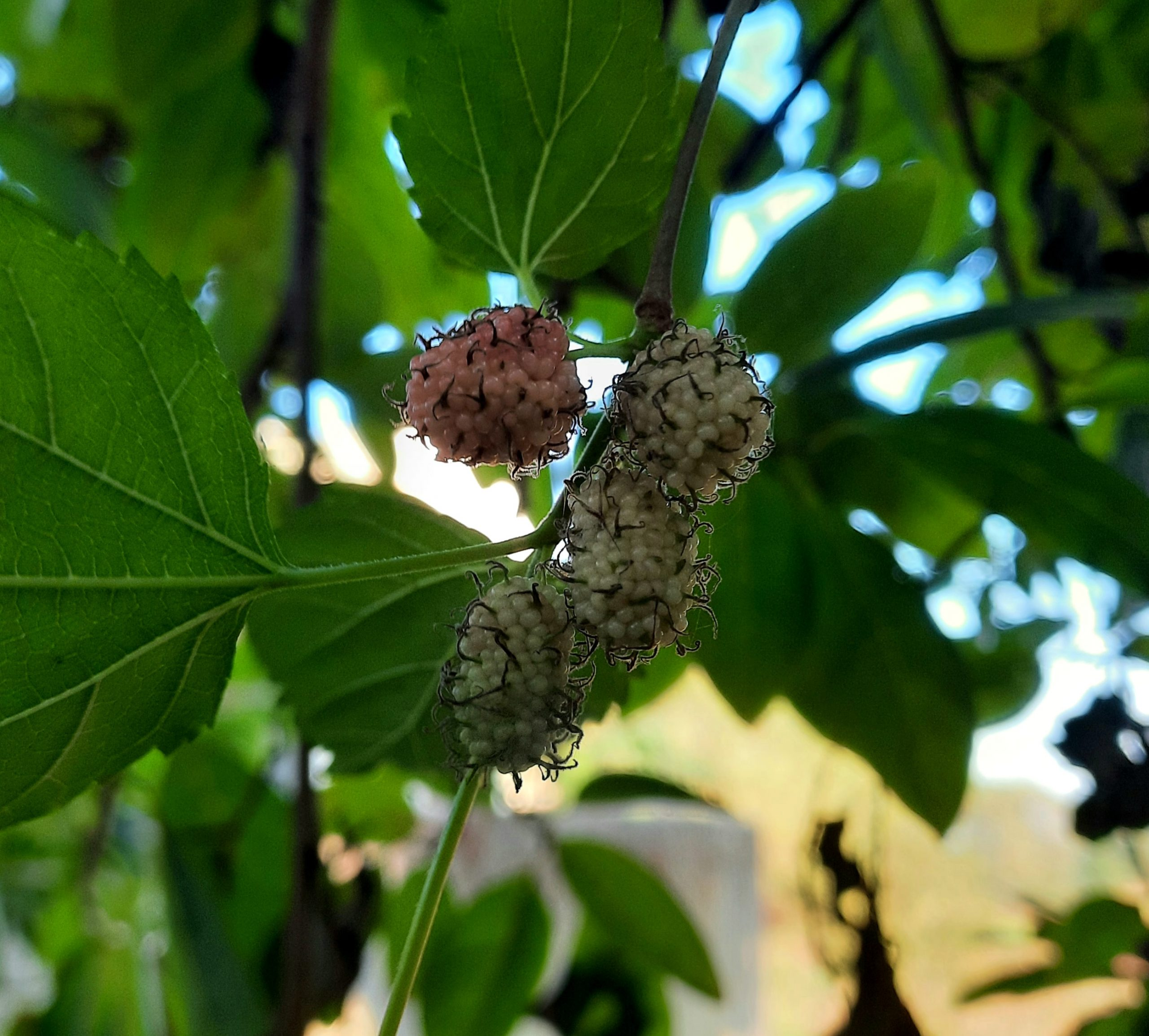 Mulberries on a tree