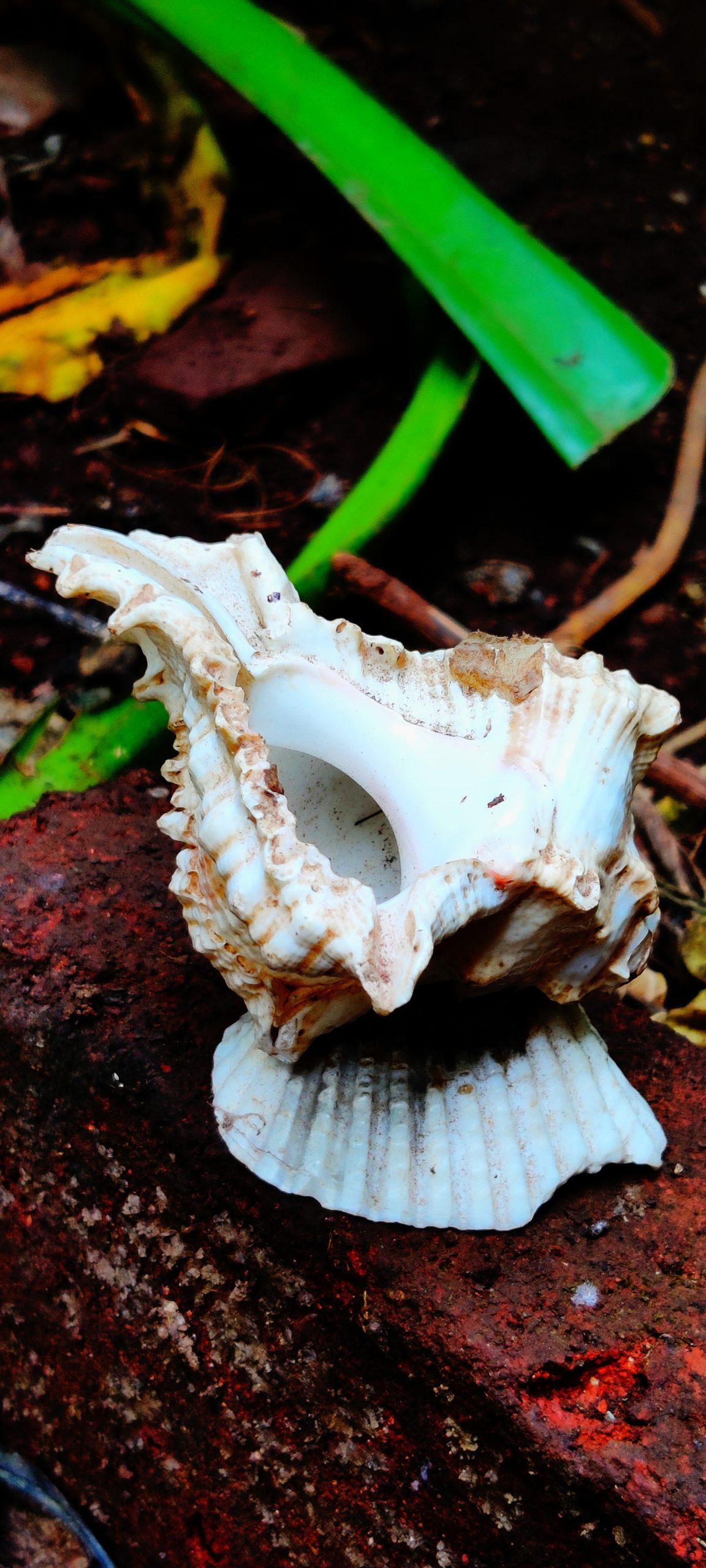 Murex Sea Snail Shell