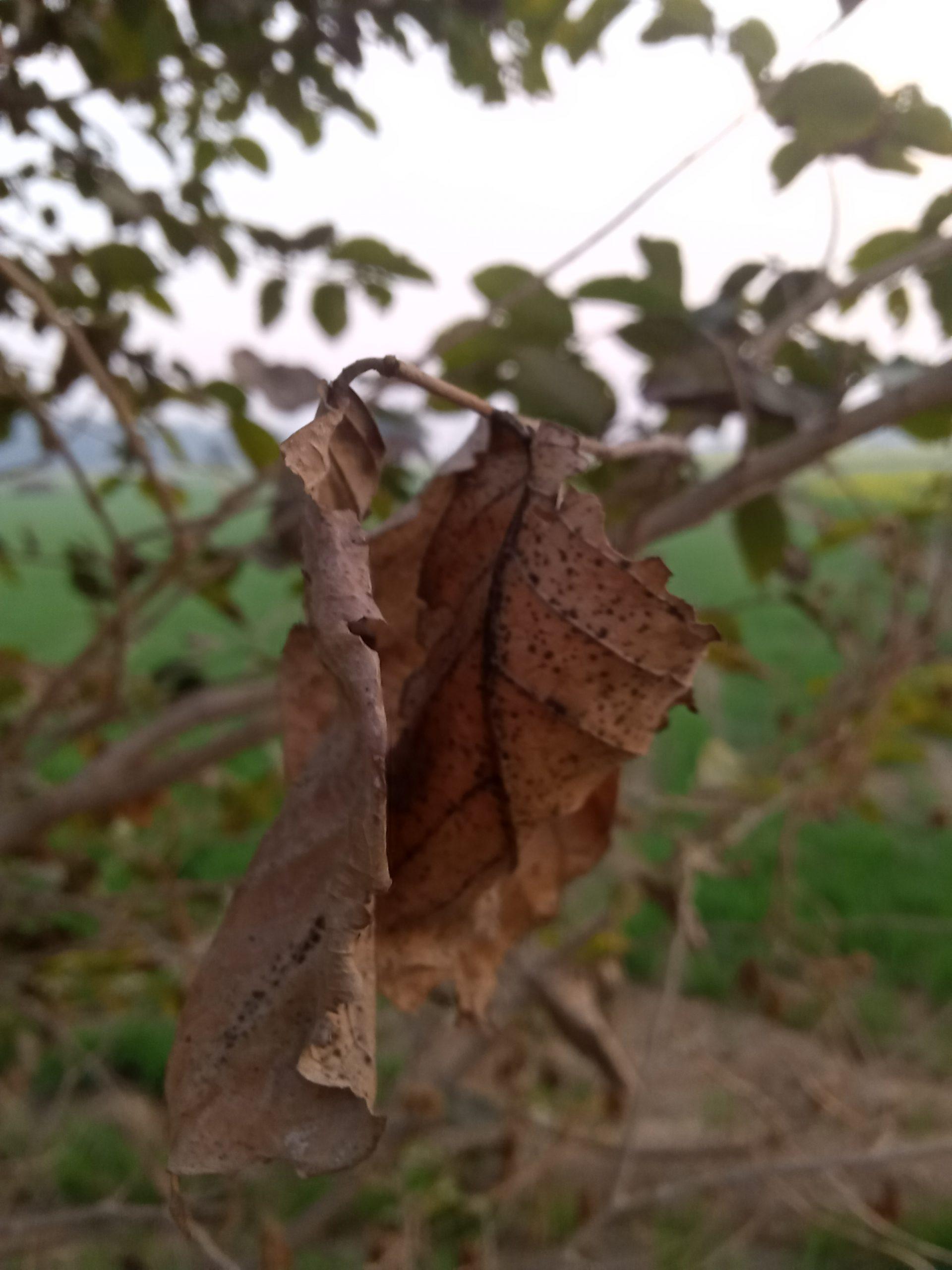 Close-up of dry Leaf