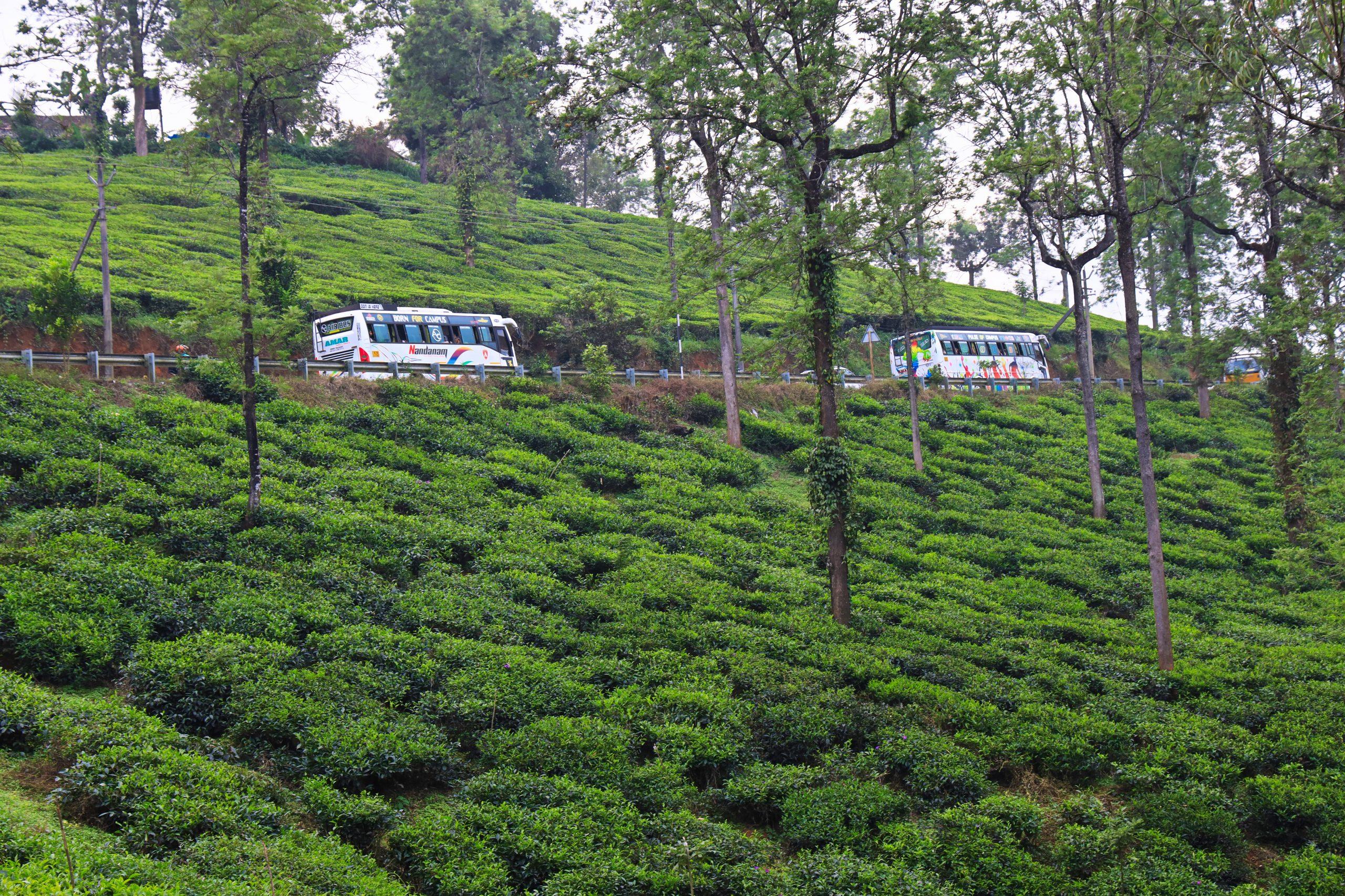 Buses passing through tea garden