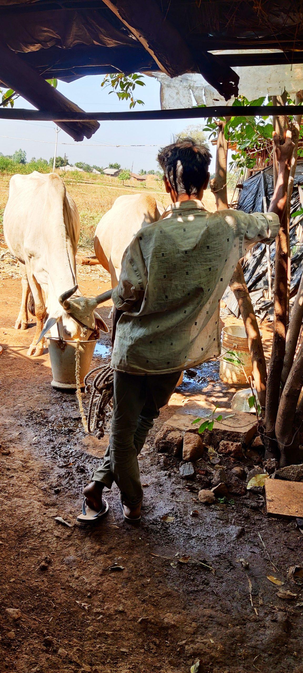 Ox drinking water on farmer