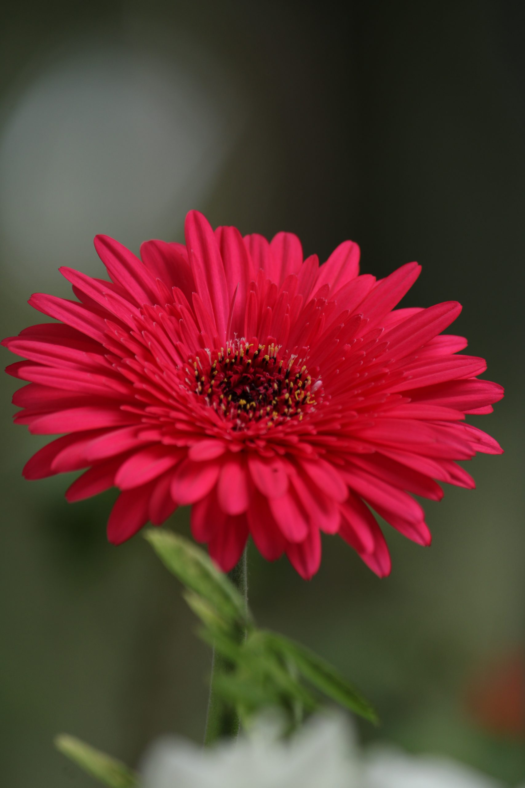 Pink Barberton daisy