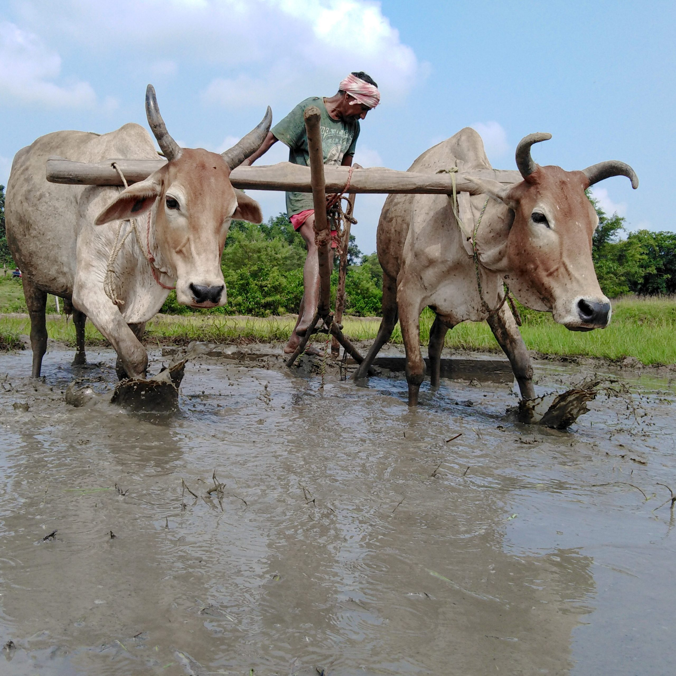 Ploughing muddy field with oxen