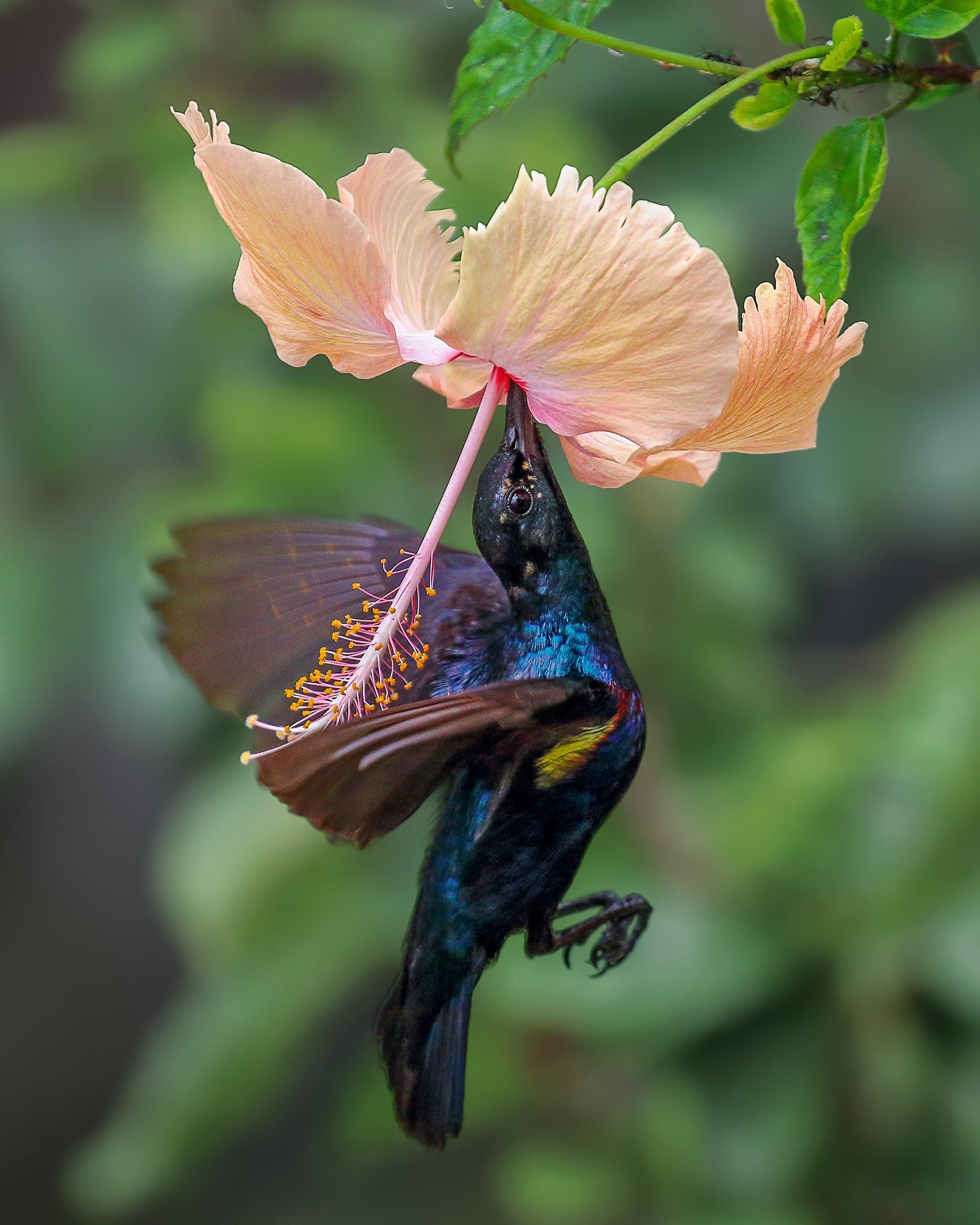 Purple Sunbird Close-up