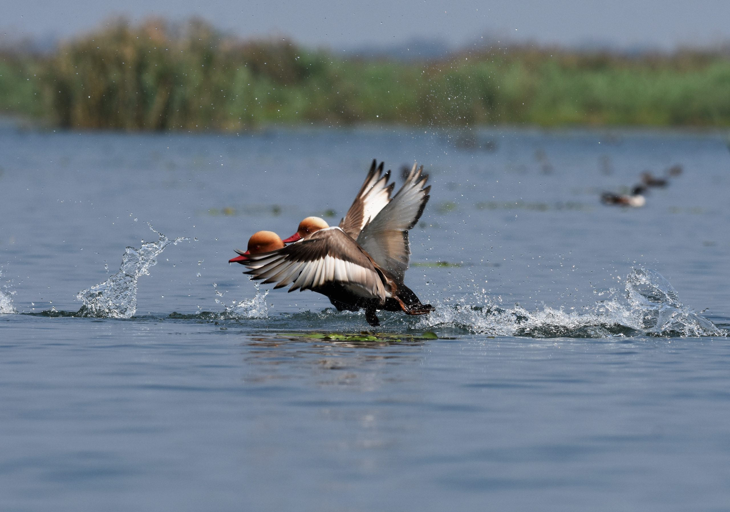 Red-crested pochard birds in a lake