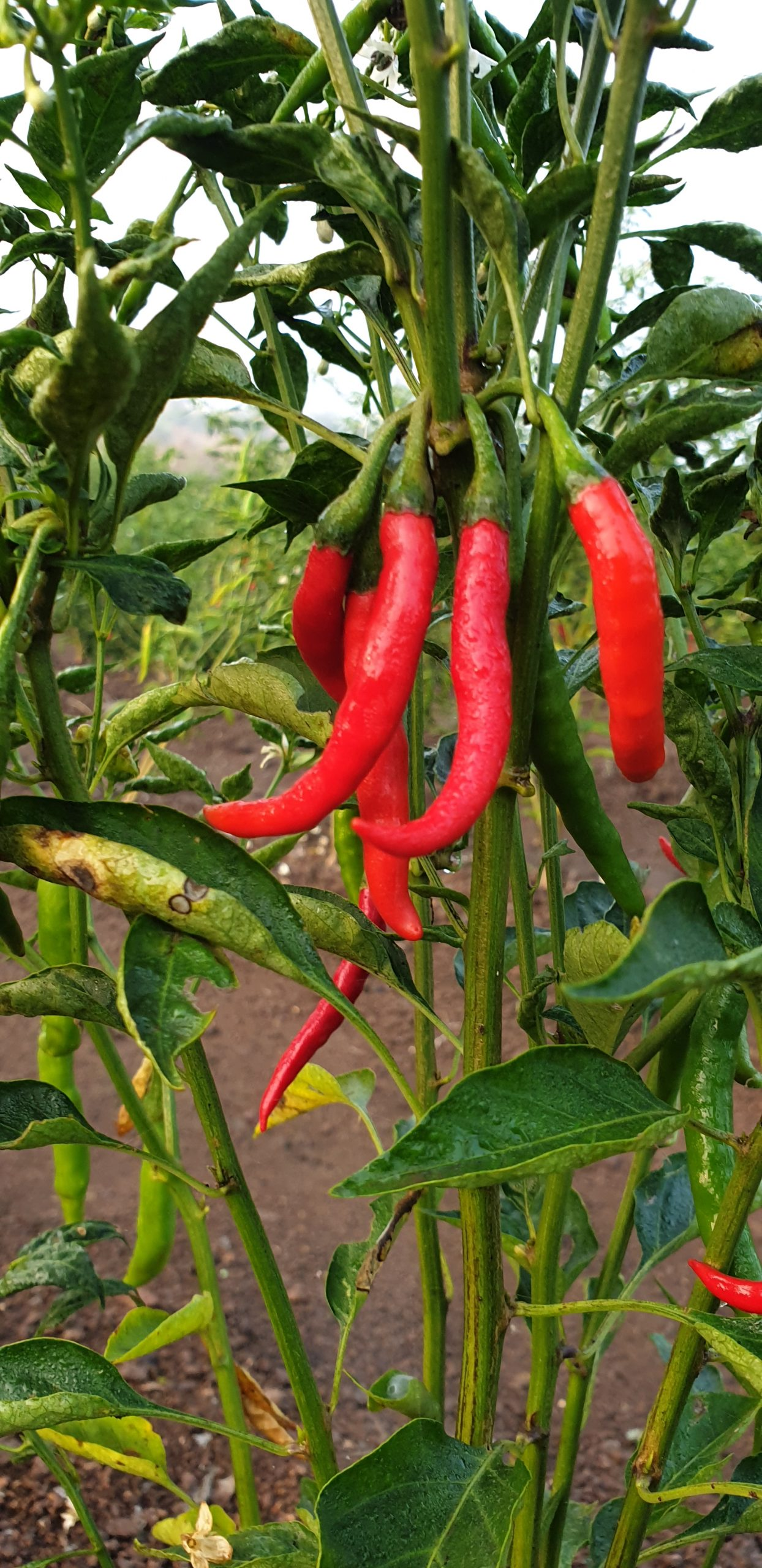 Red chilies plant