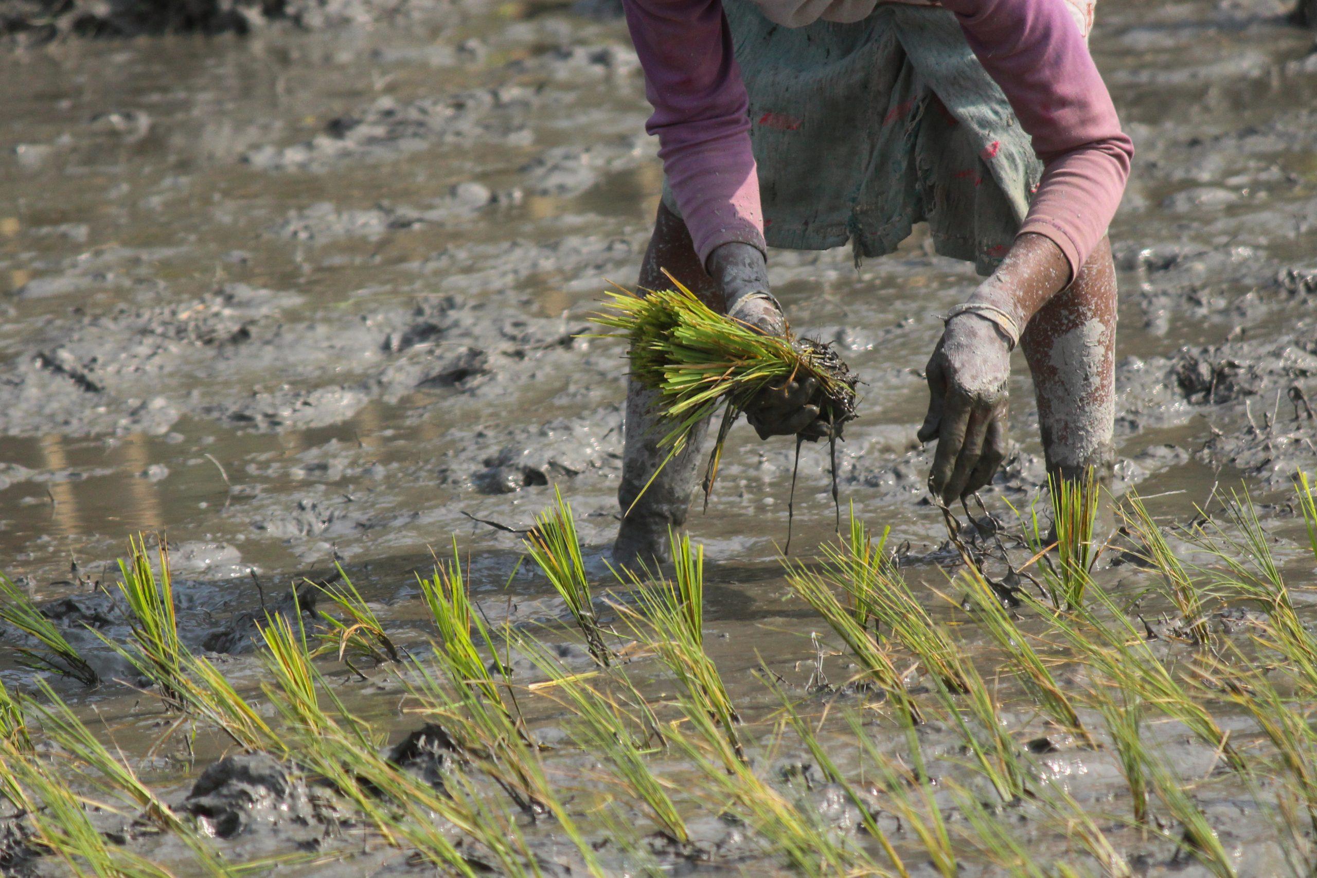 Rice Seedling Transplanting