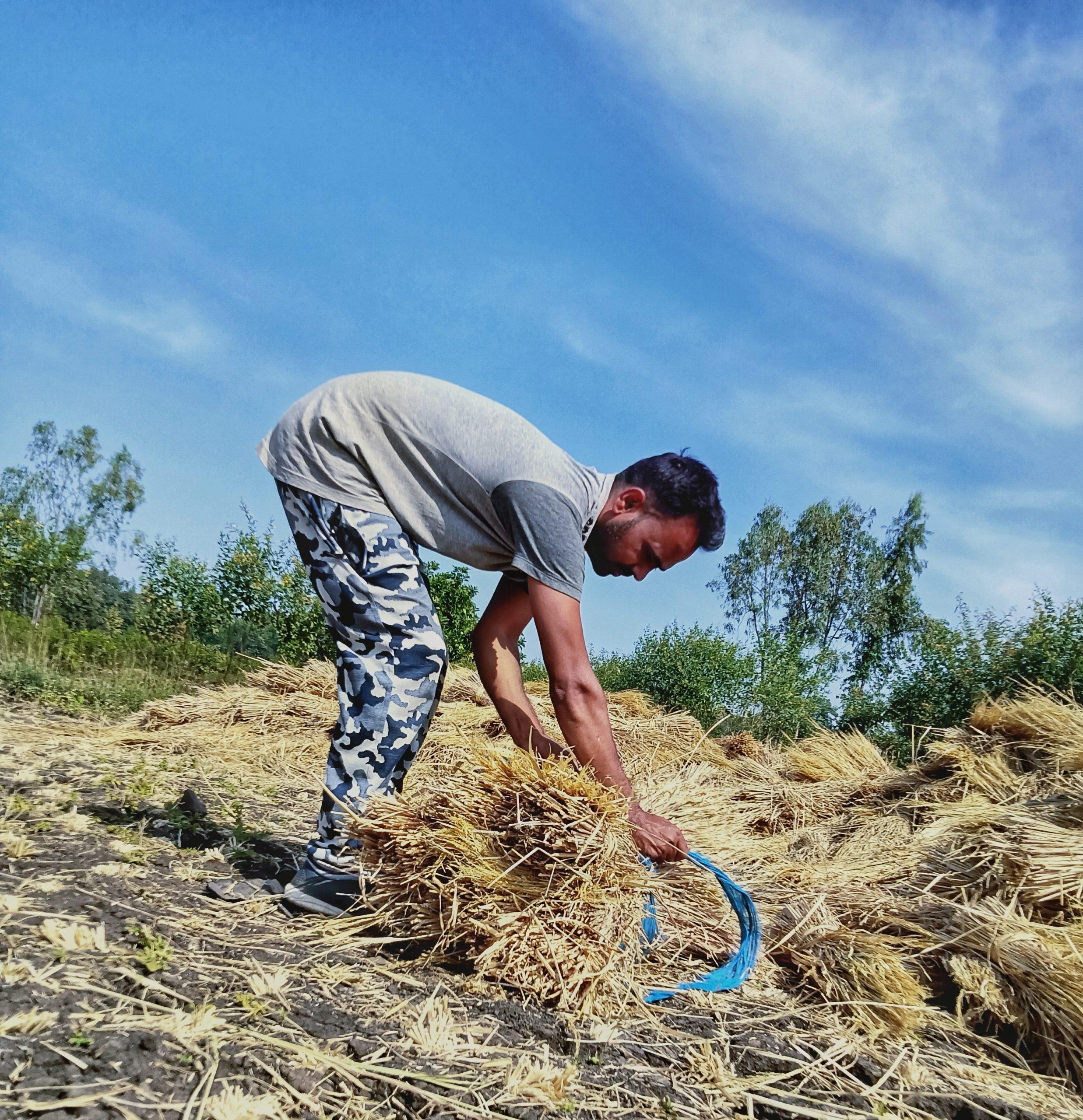 A farmer tieing rice plant bundles