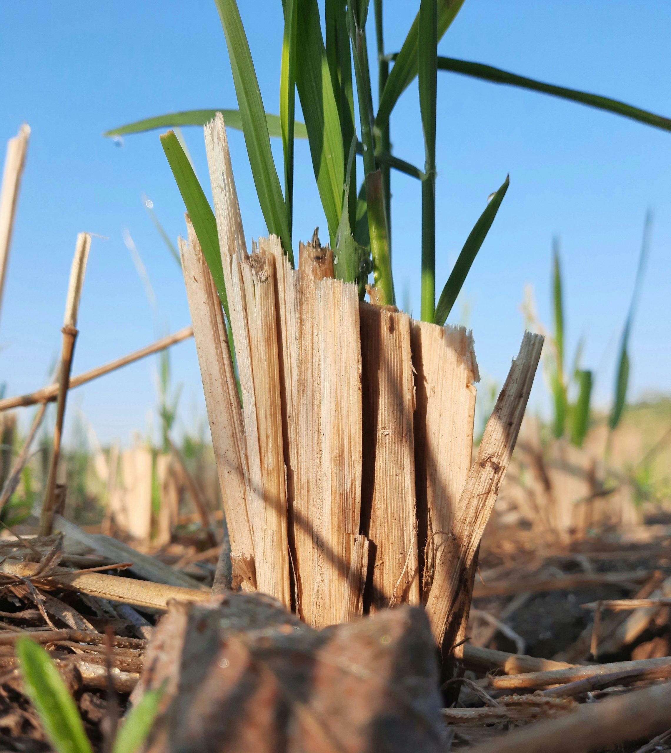 A rice plant stump