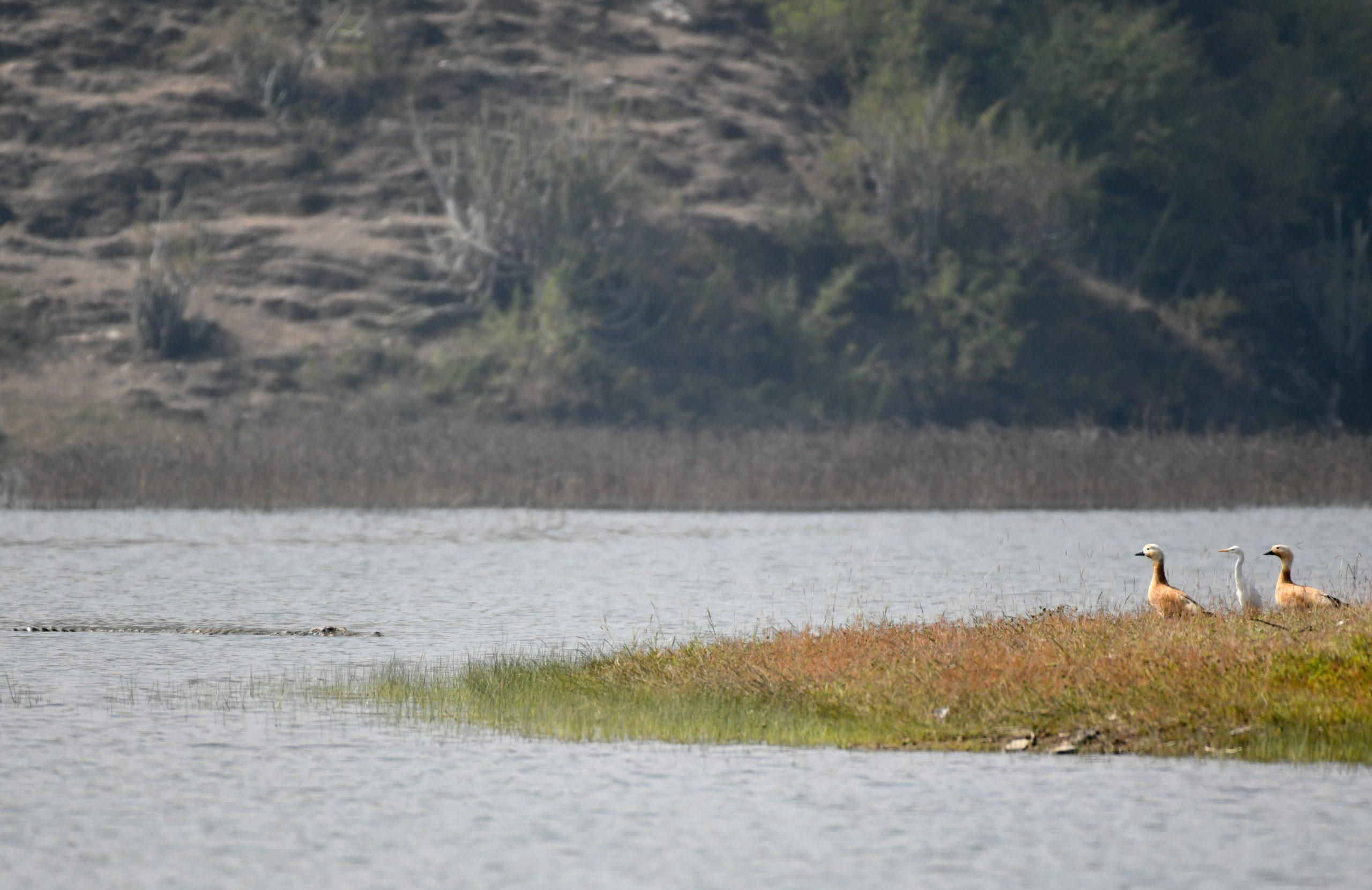 Crocodile hunting on ducks