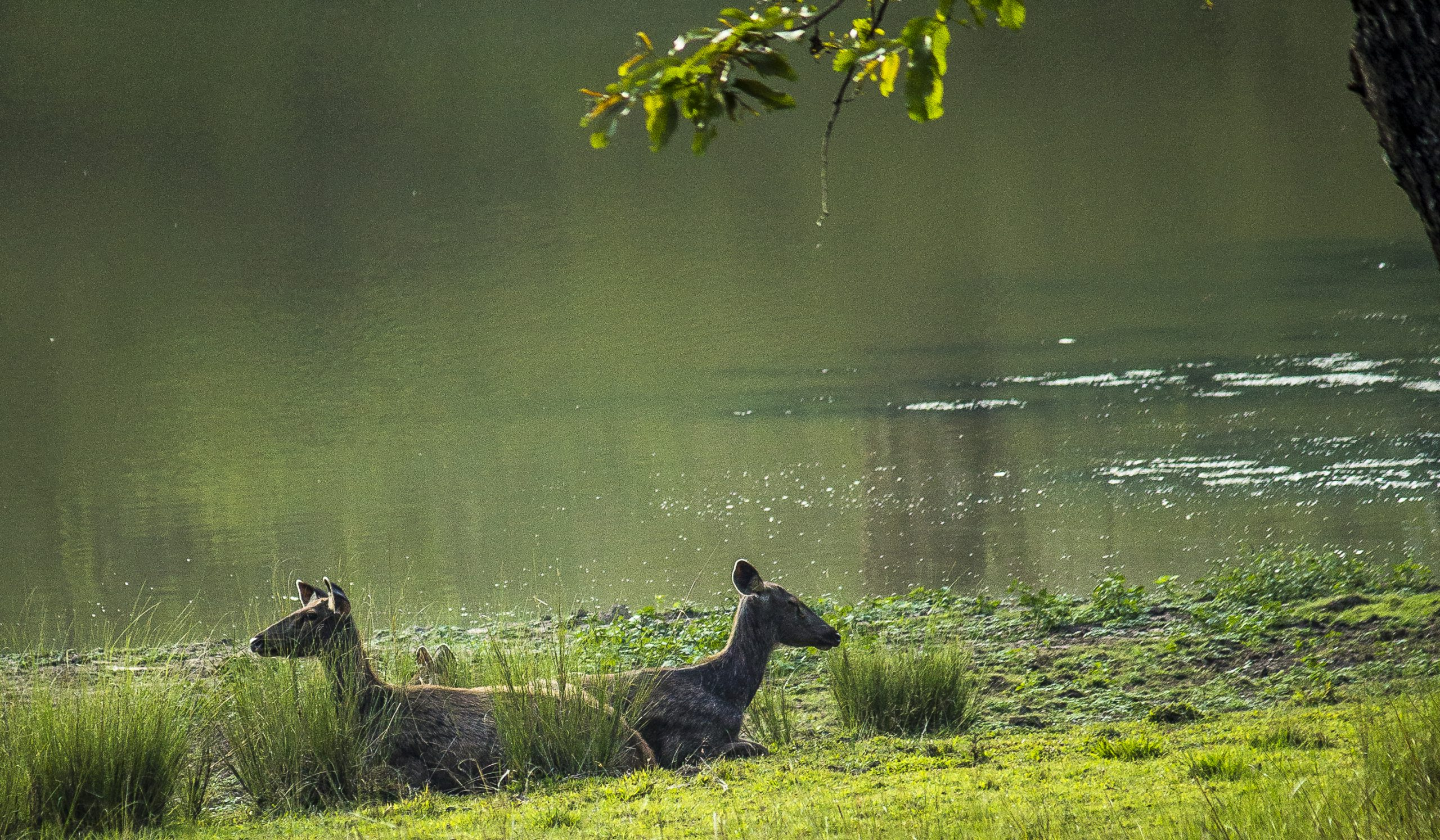 Deer resting near a lake