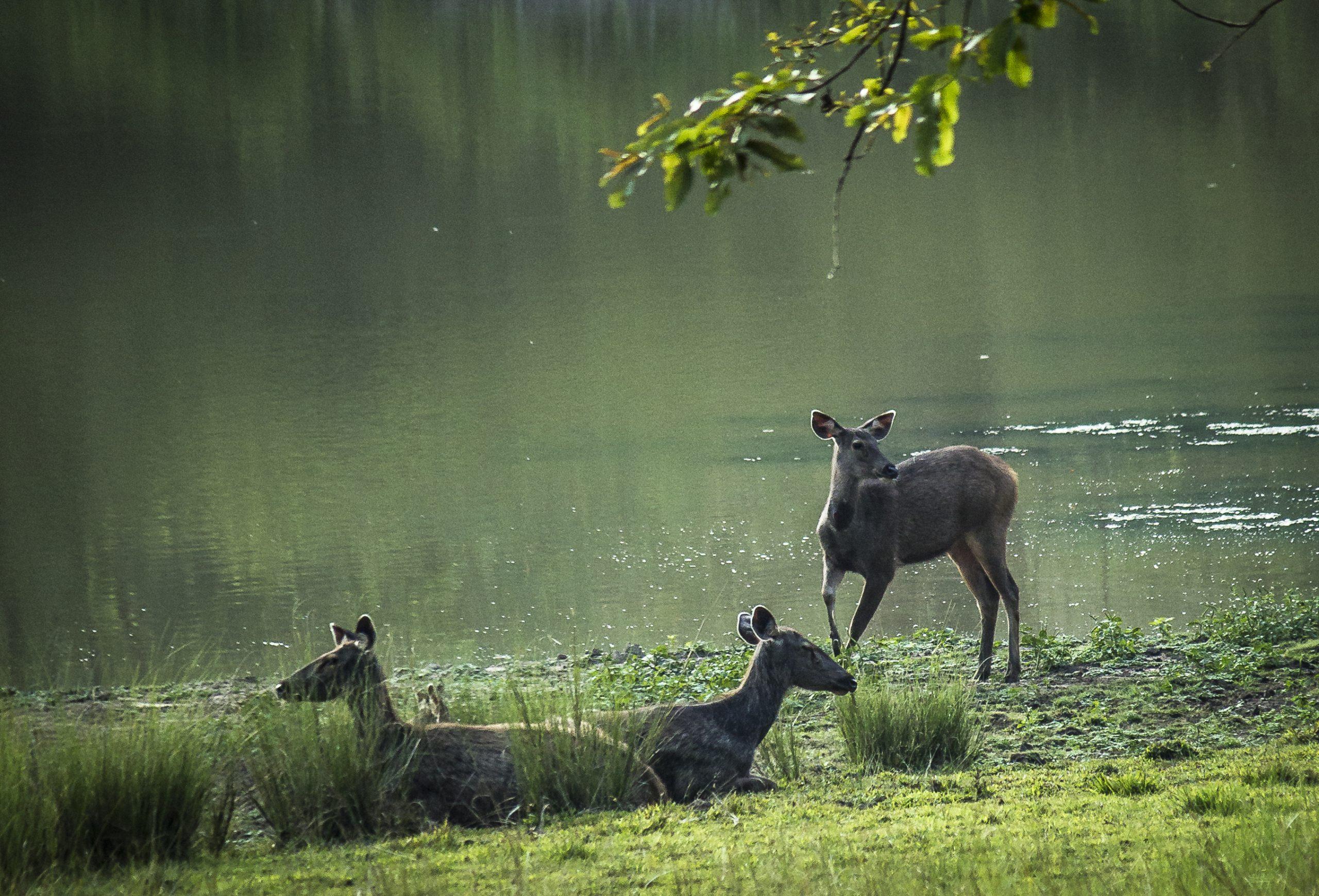 Sambar Deers at river bank
