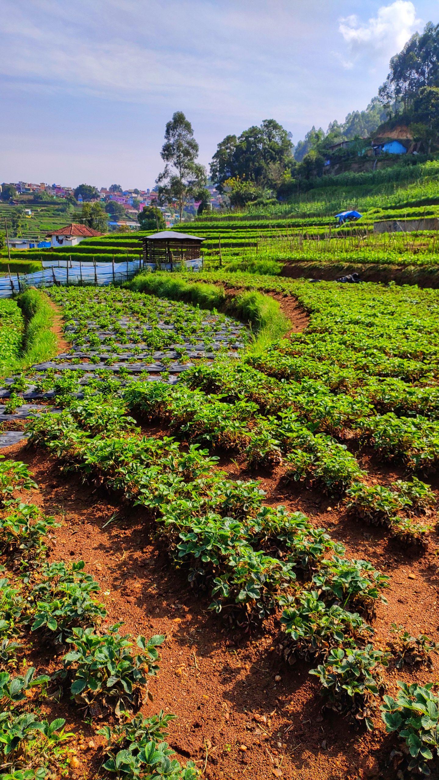 Strawberry plantation garden