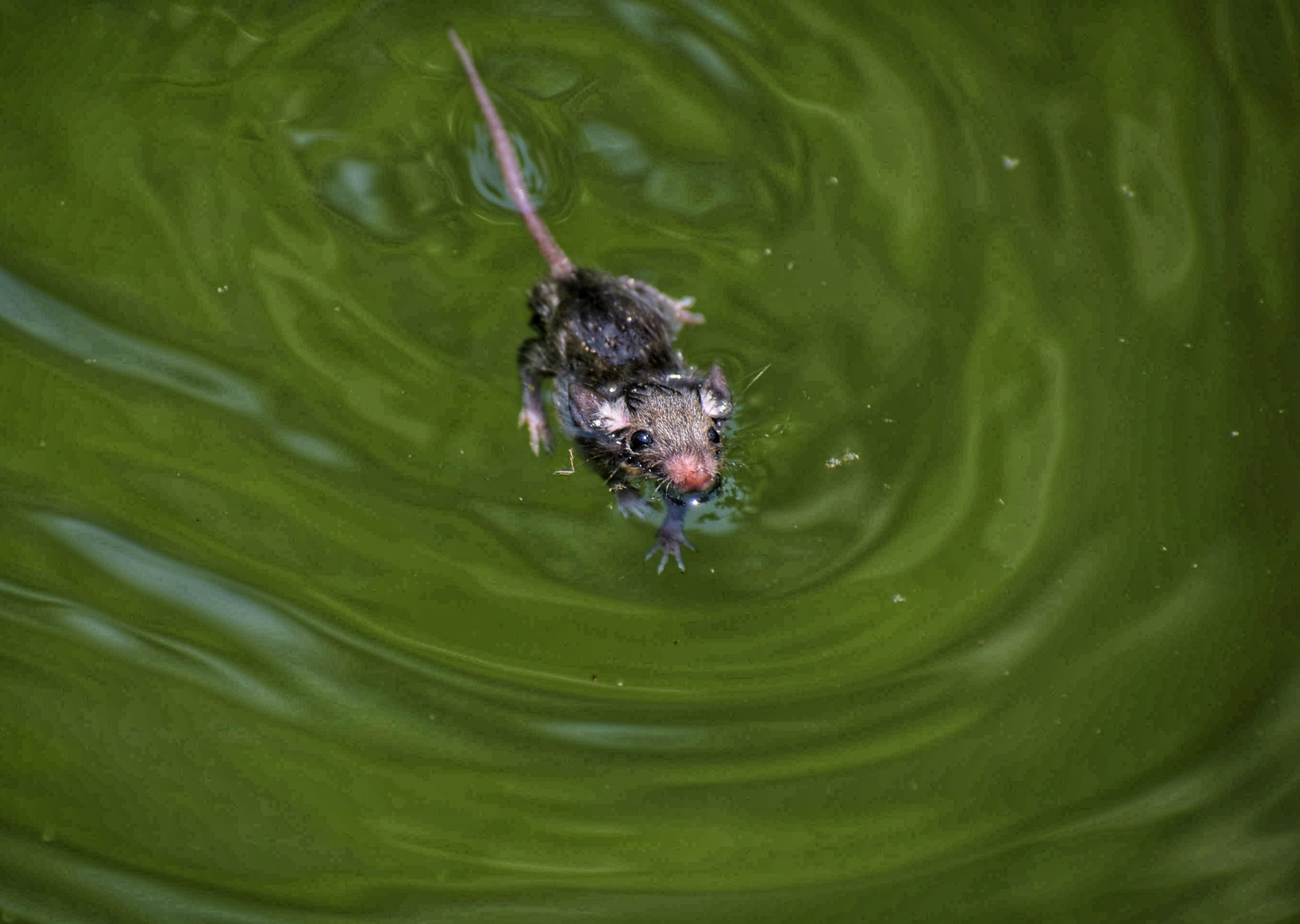 A rat in water
