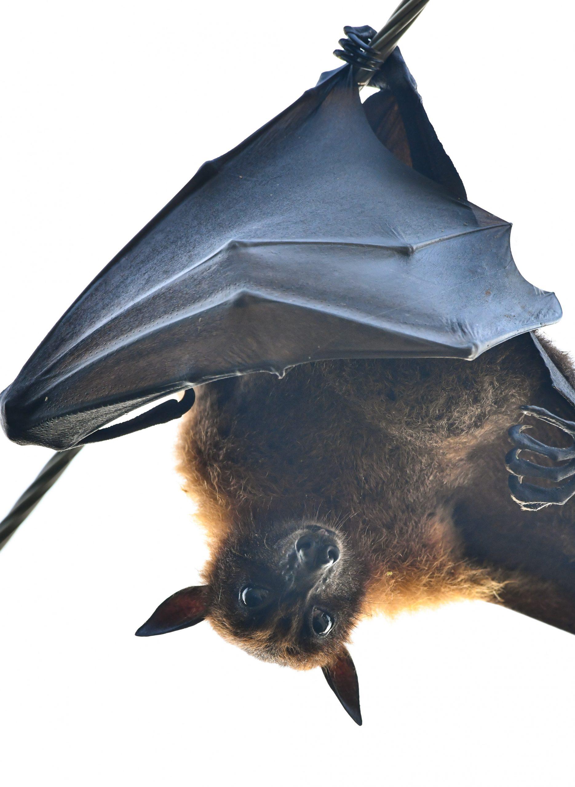 A flying fox