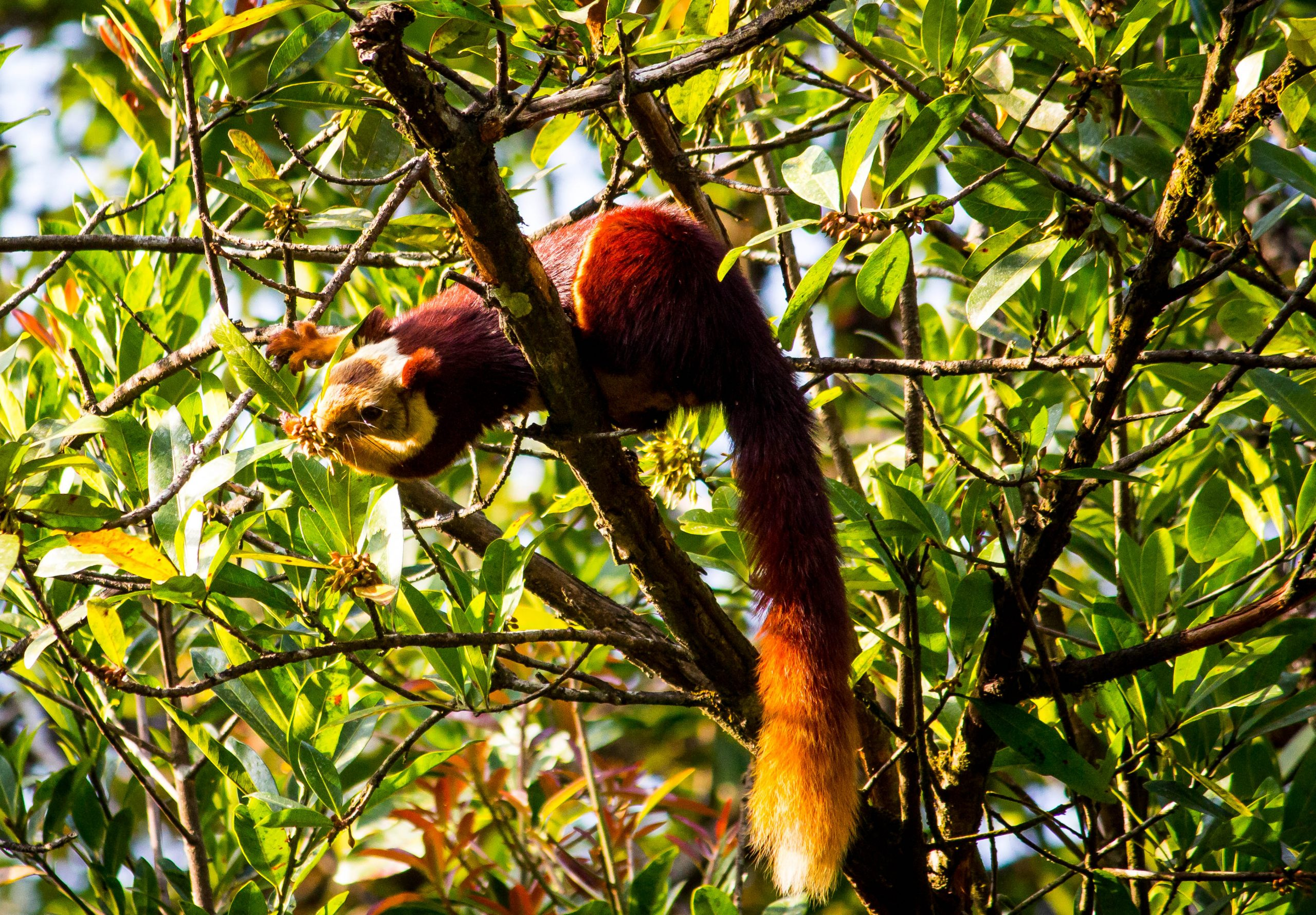 The Indian Gaint Squirrel on a tree