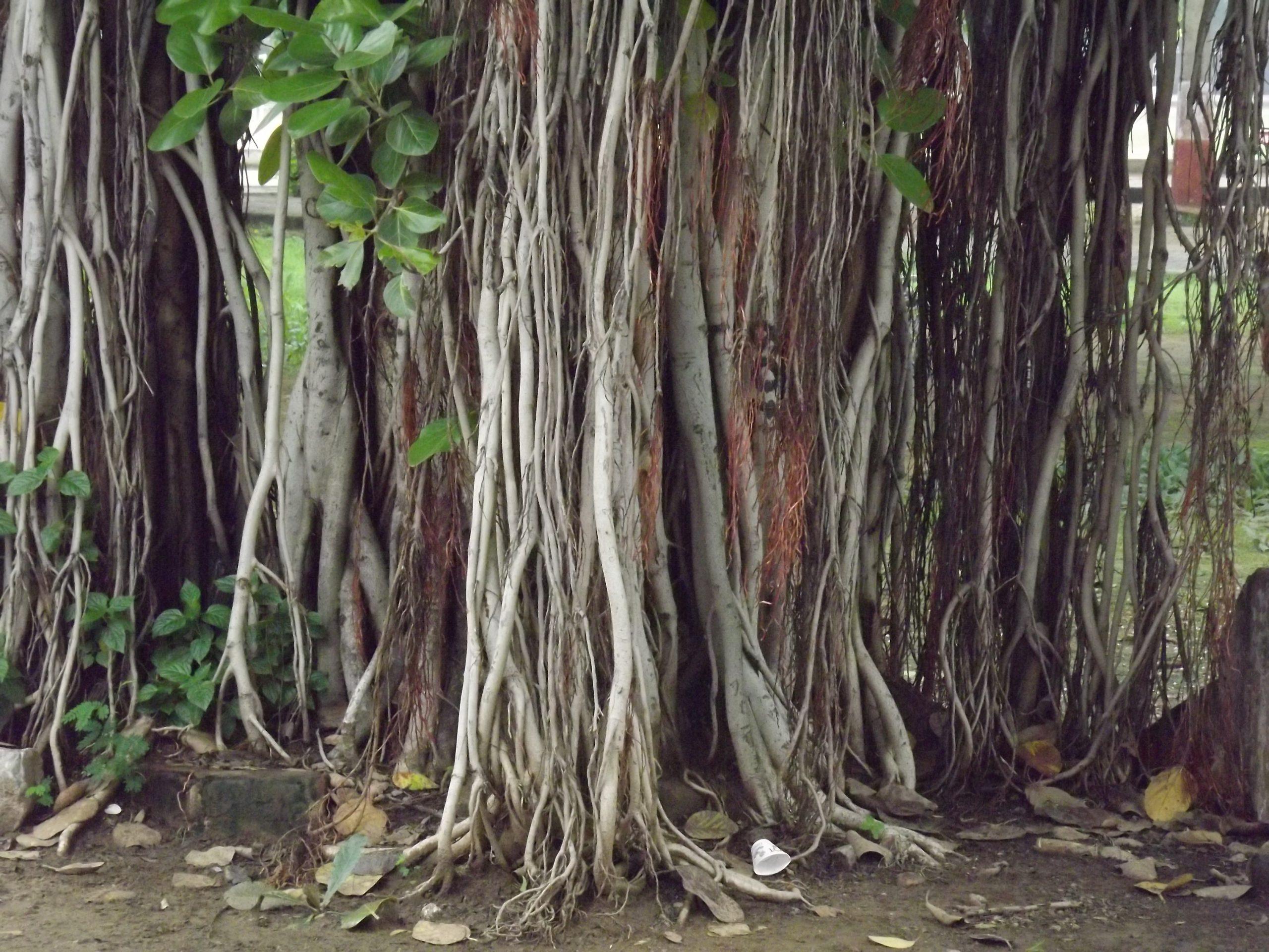 Falling roots of a big tree