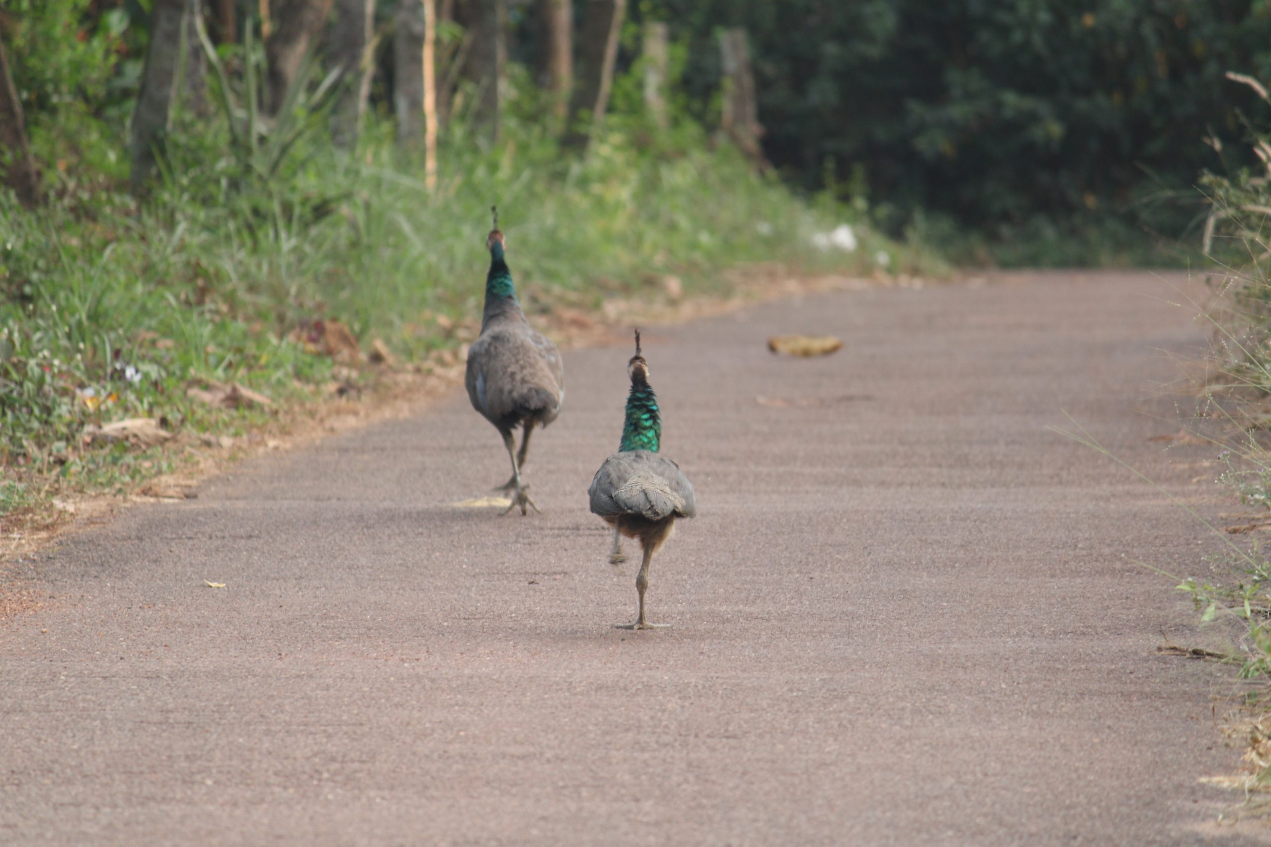 Peacocks walking on the road