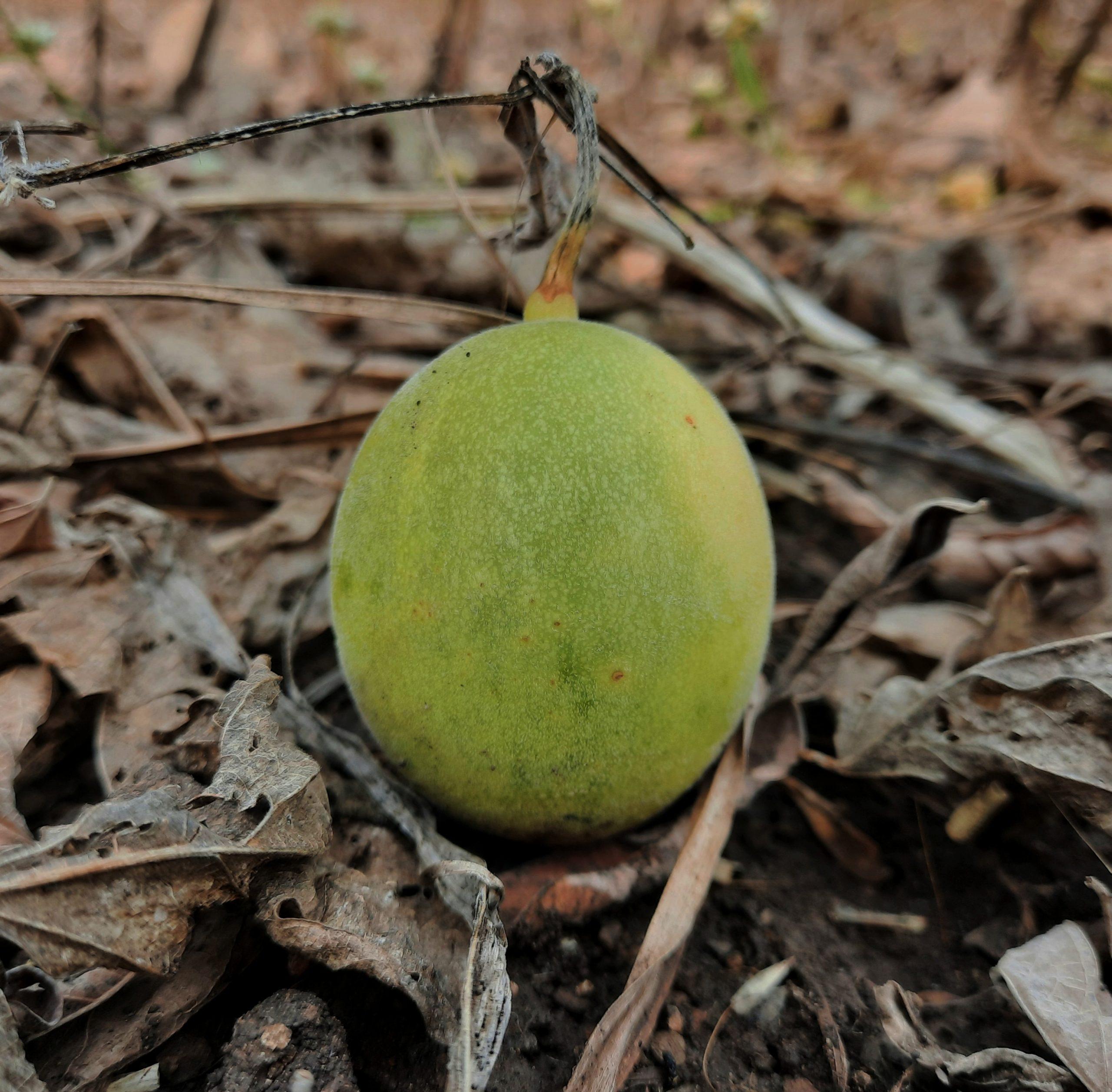 A fallen fruit